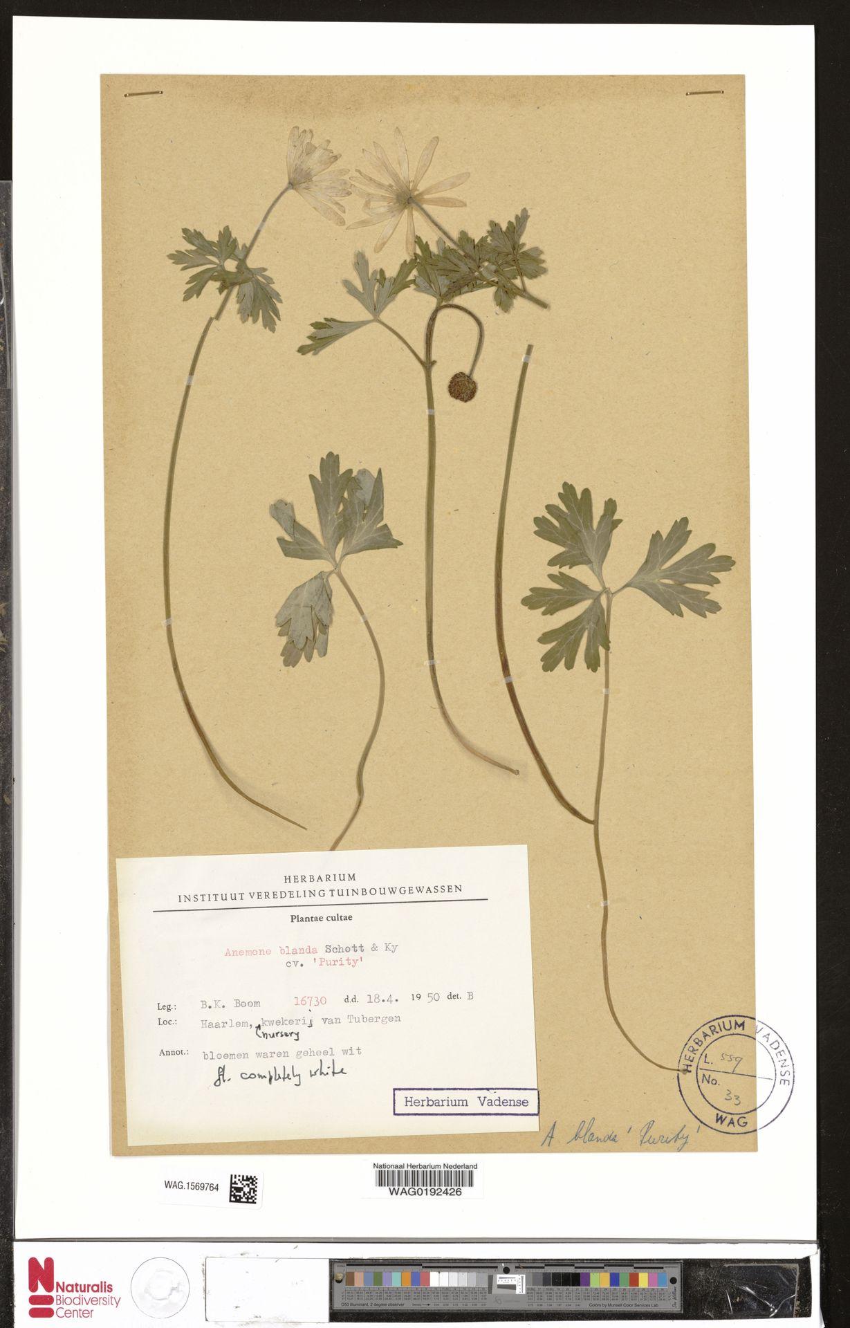 WAG.1569764   Anemone blanda cv. 'Purity'
