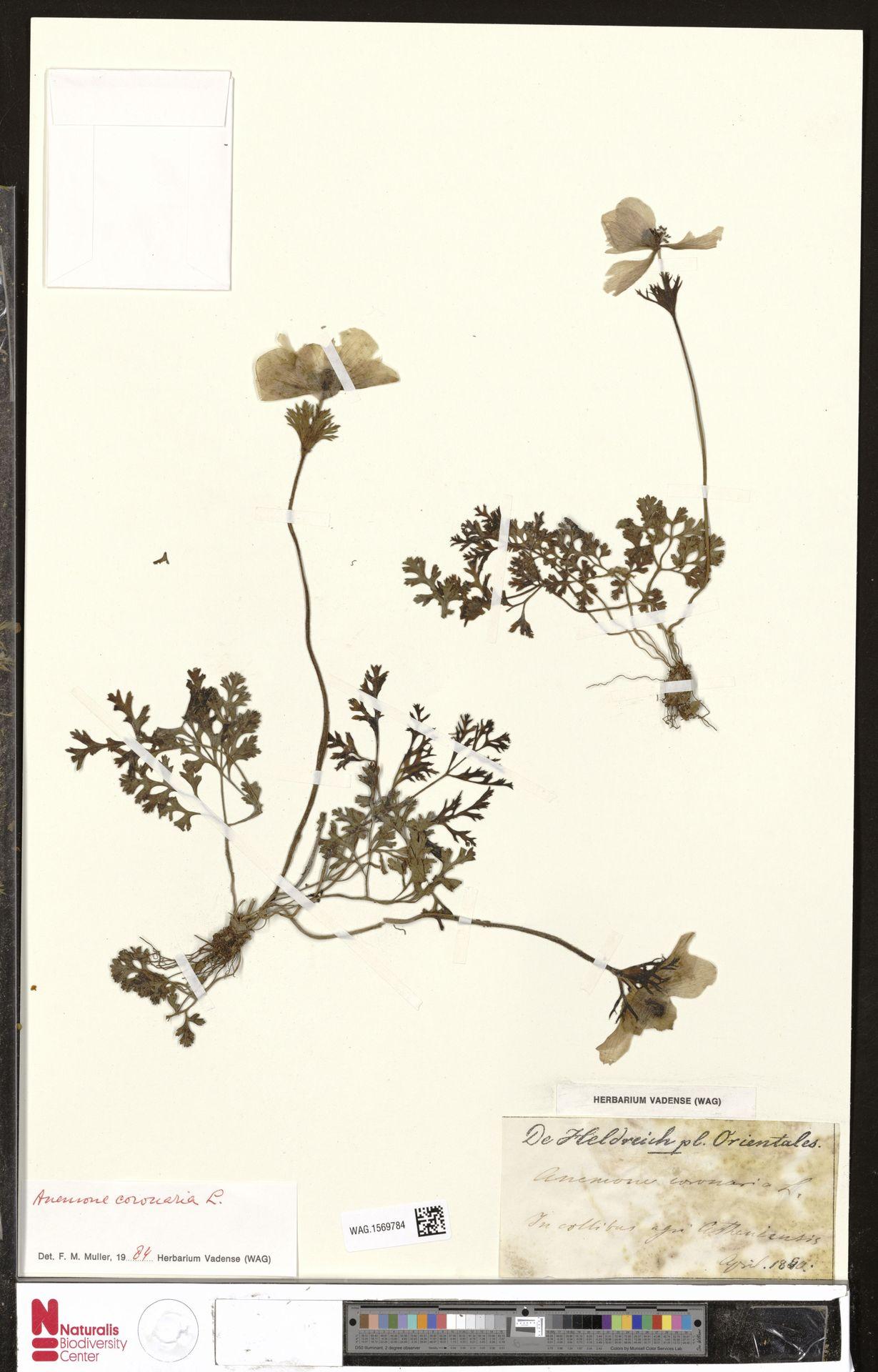 WAG.1569784 | Anemone coronaria L.