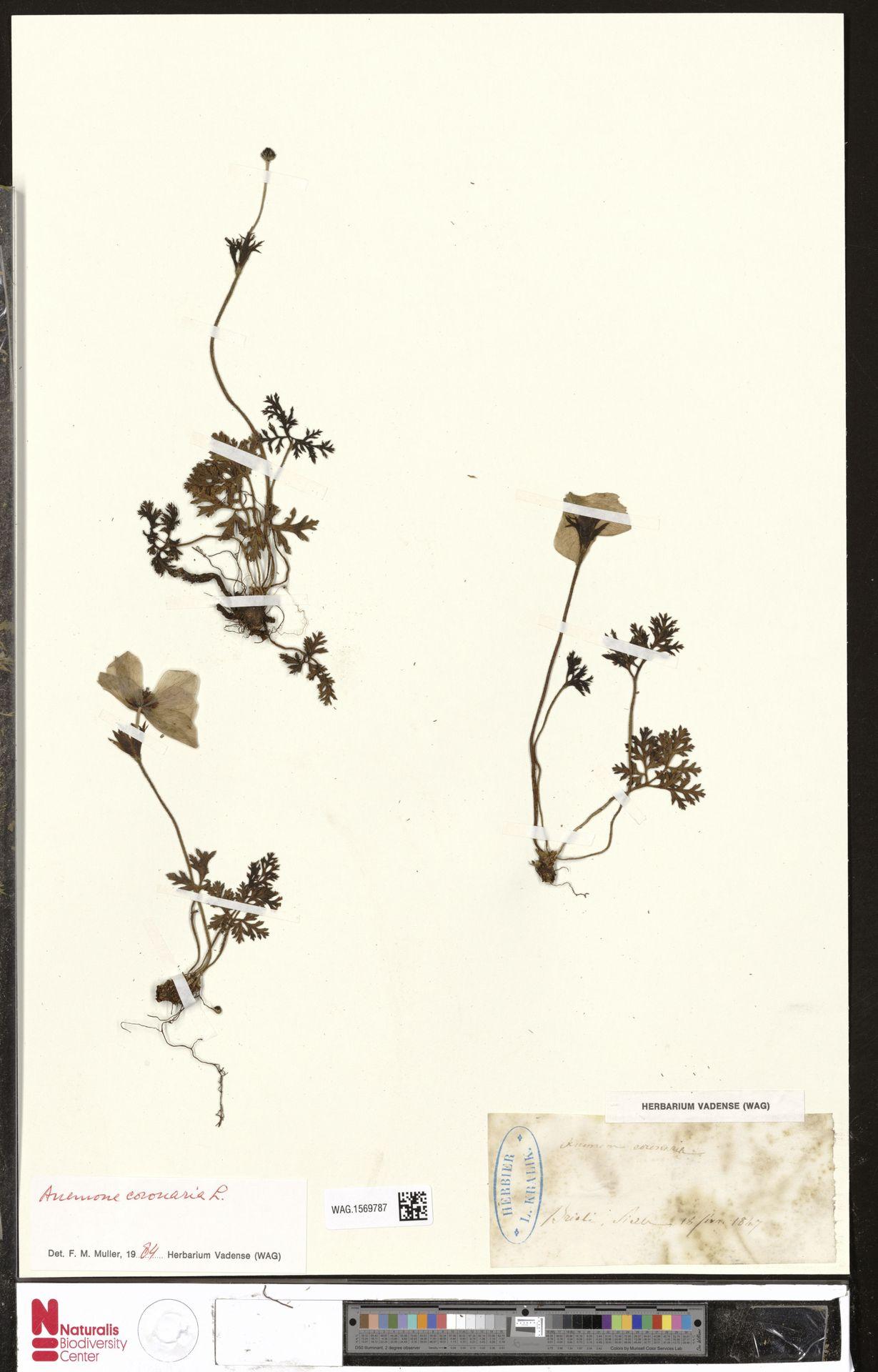 WAG.1569787 | Anemone coronaria L.