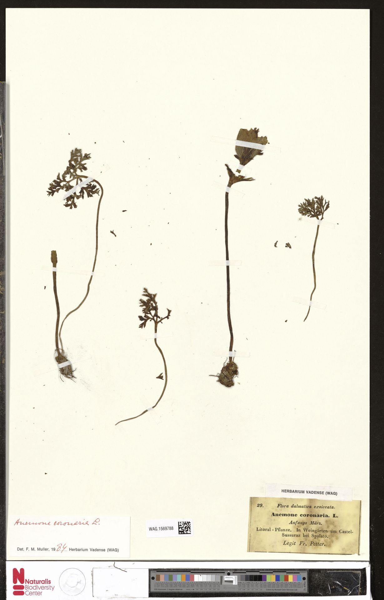 WAG.1569788 | Anemone coronaria L.