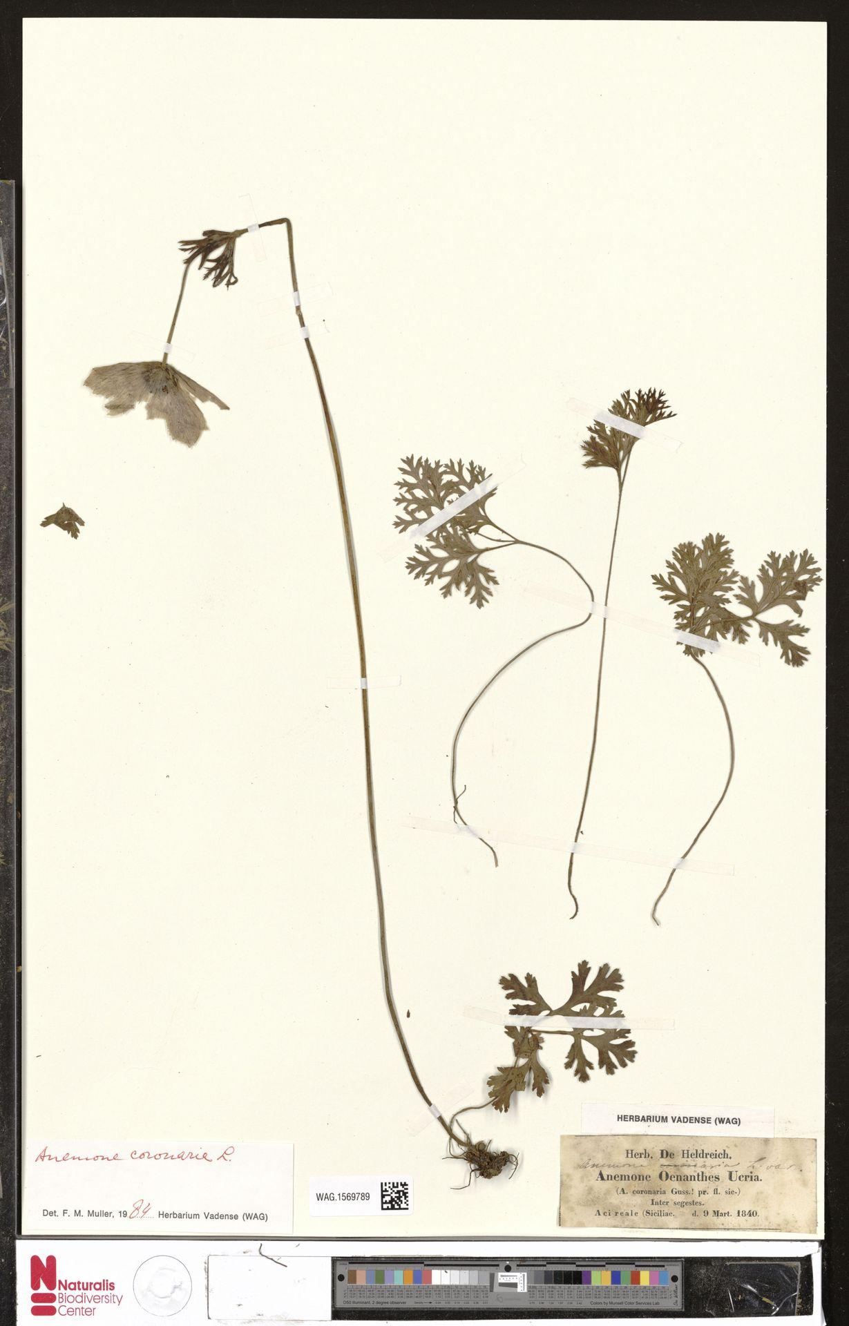 WAG.1569789 | Anemone coronaria L.