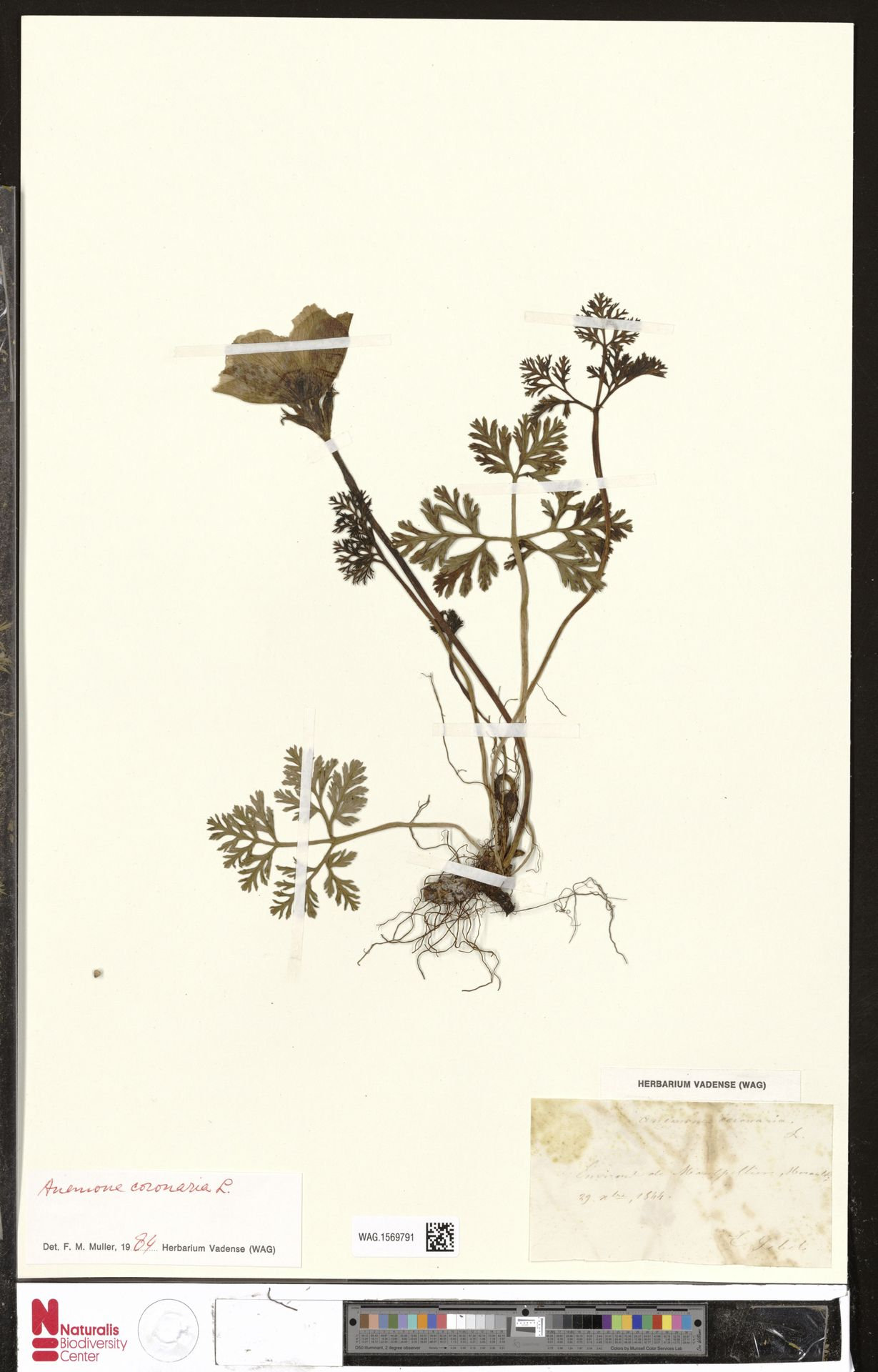 WAG.1569791 | Anemone coronaria L.