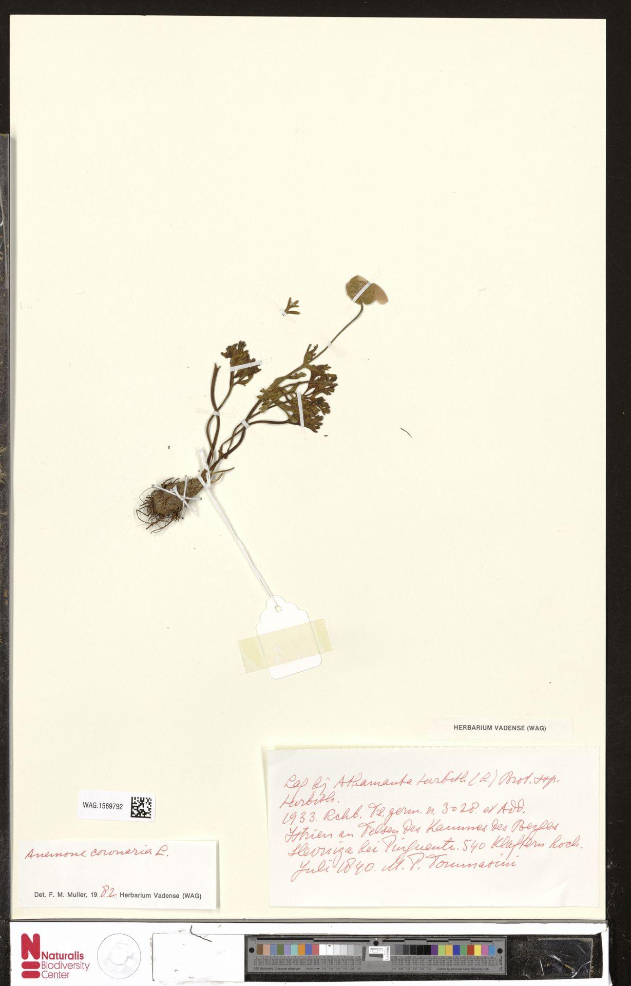 WAG.1569792 | Anemone coronaria L.