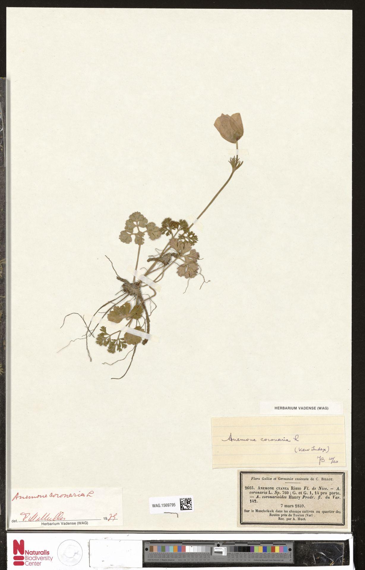 WAG.1569795 | Anemone coronaria L.