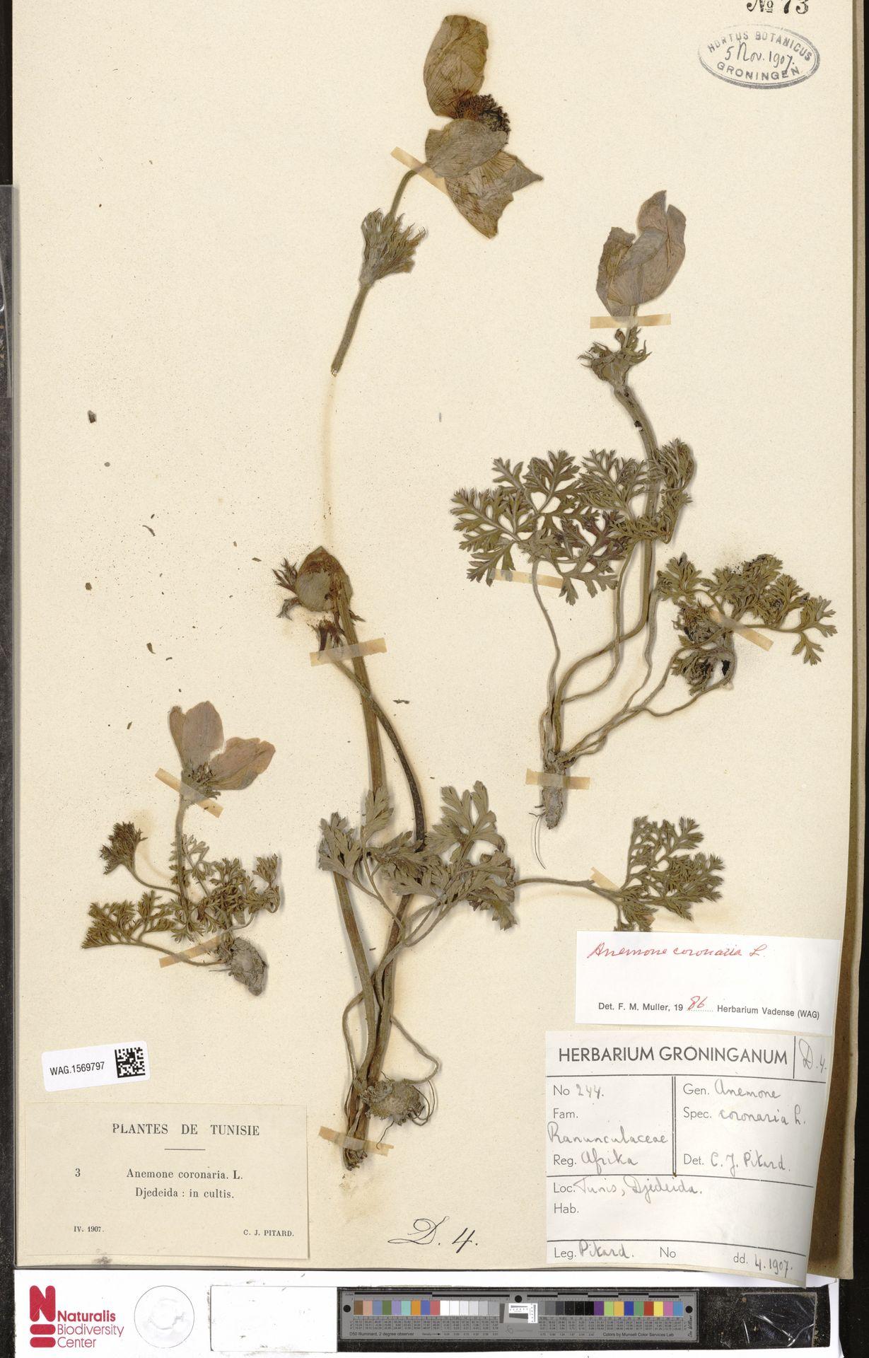 WAG.1569797 | Anemone coronaria L.