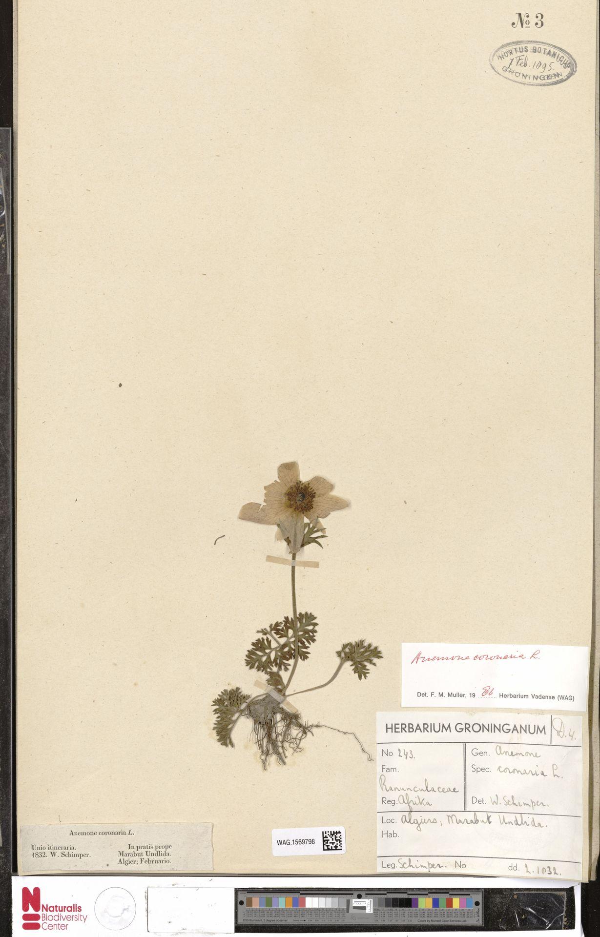 WAG.1569798 | Anemone coronaria L.