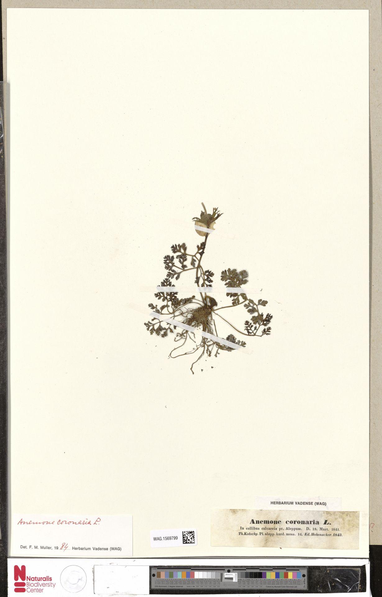 WAG.1569799 | Anemone coronaria L.