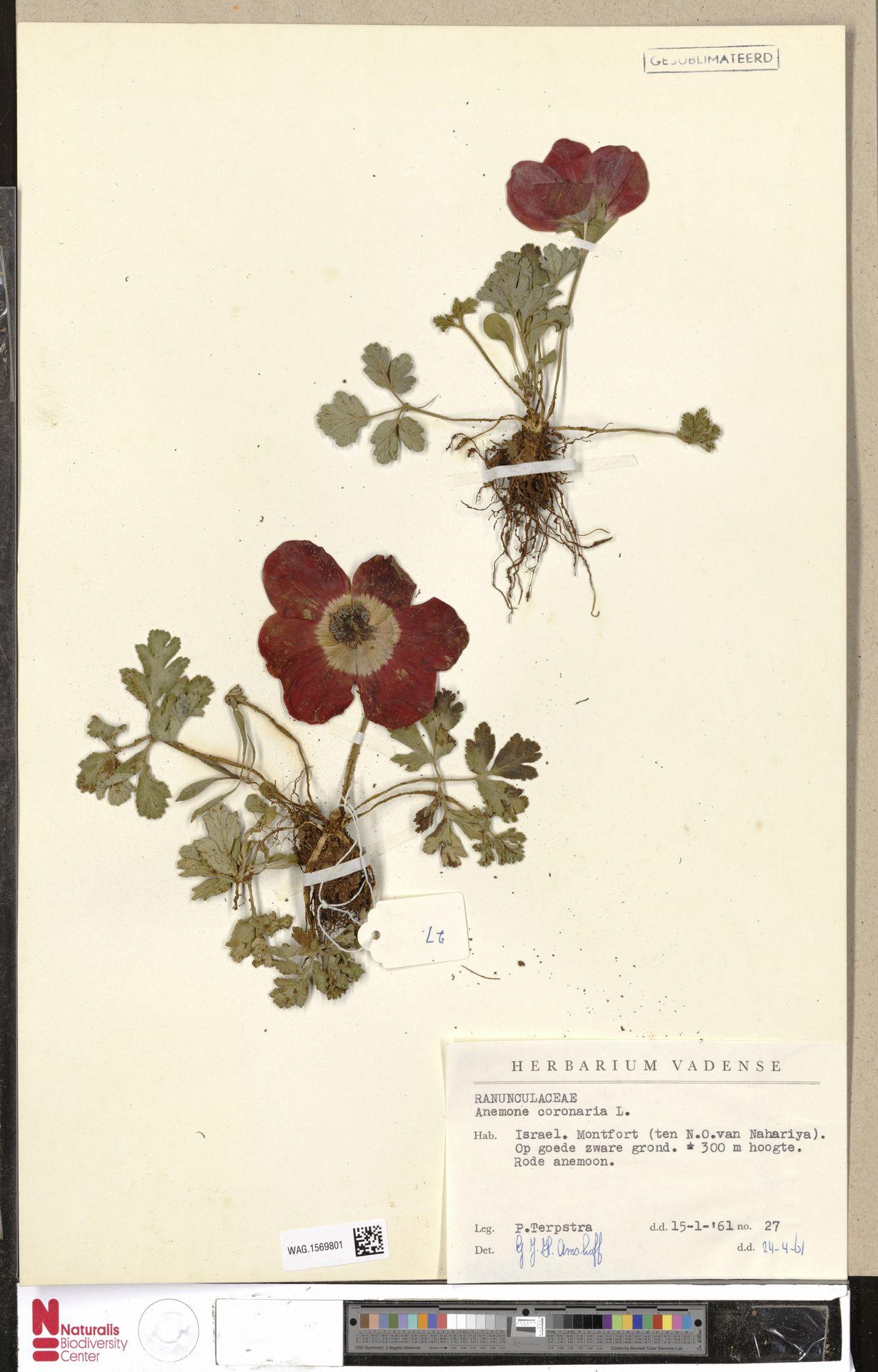 WAG.1569801 | Anemone coronaria L.