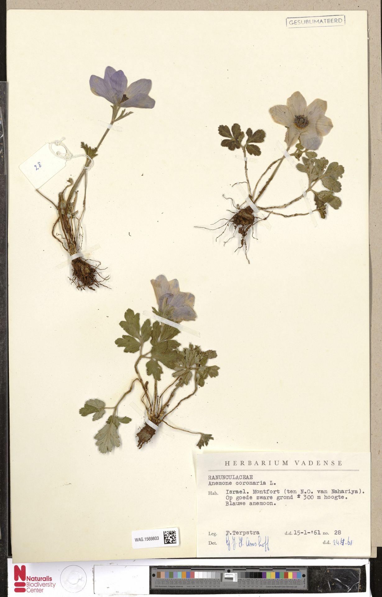 WAG.1569803 | Anemone coronaria L.