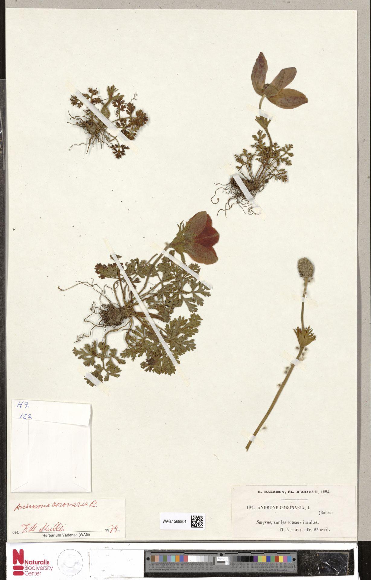 WAG.1569804   Anemone coronaria L.