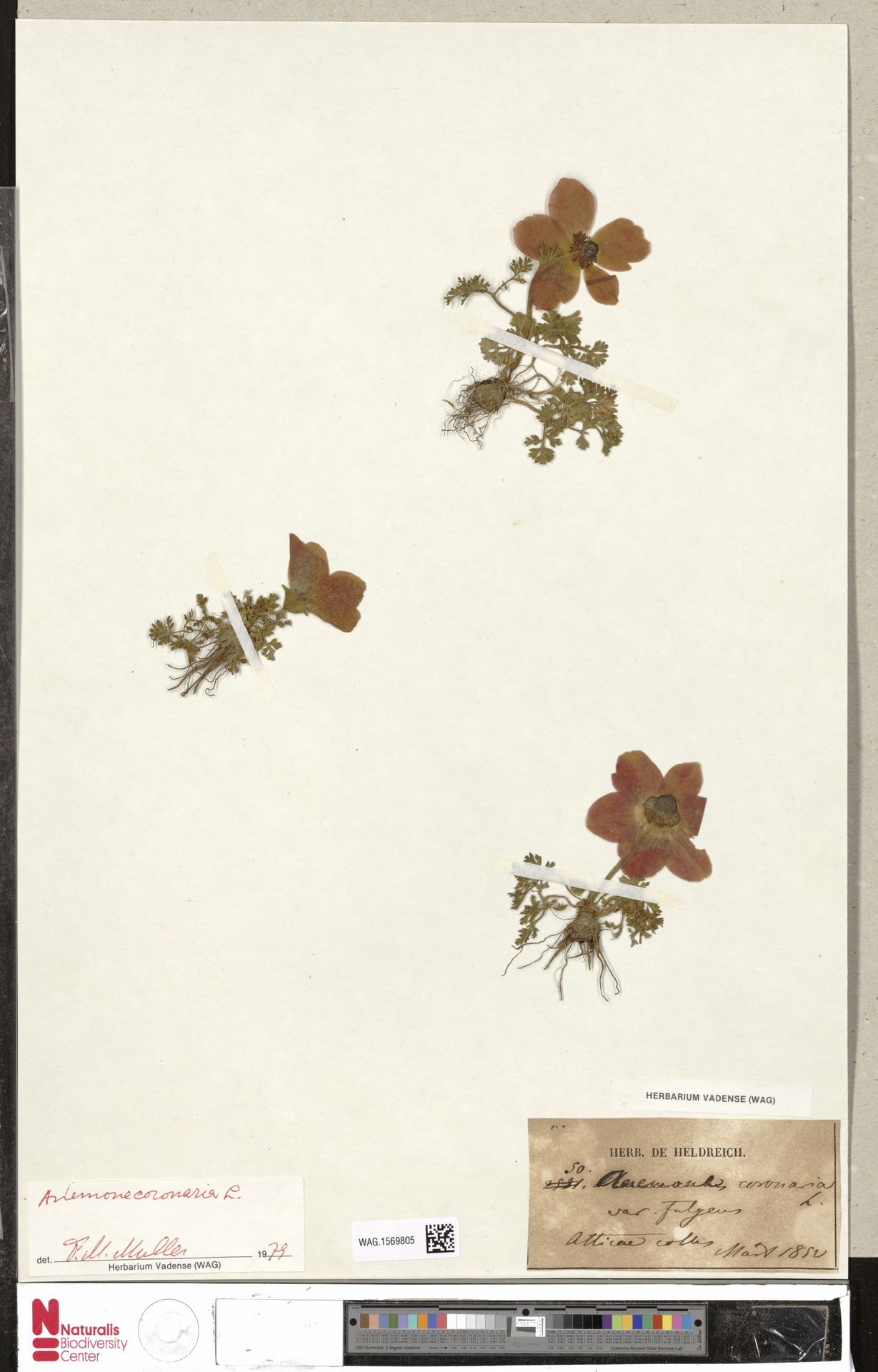 WAG.1569805 | Anemone coronaria L.