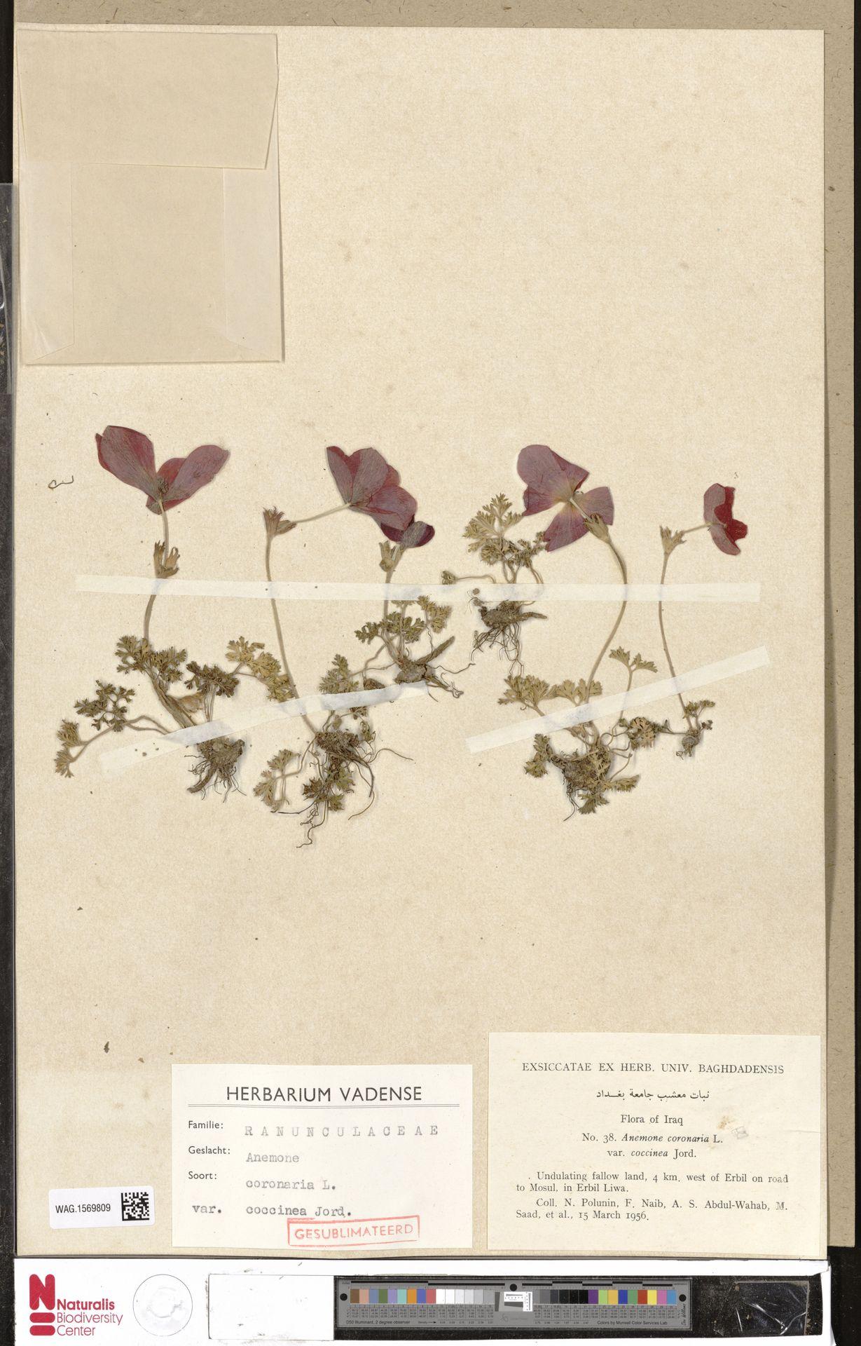 WAG.1569809 | Anemone coronaria L.