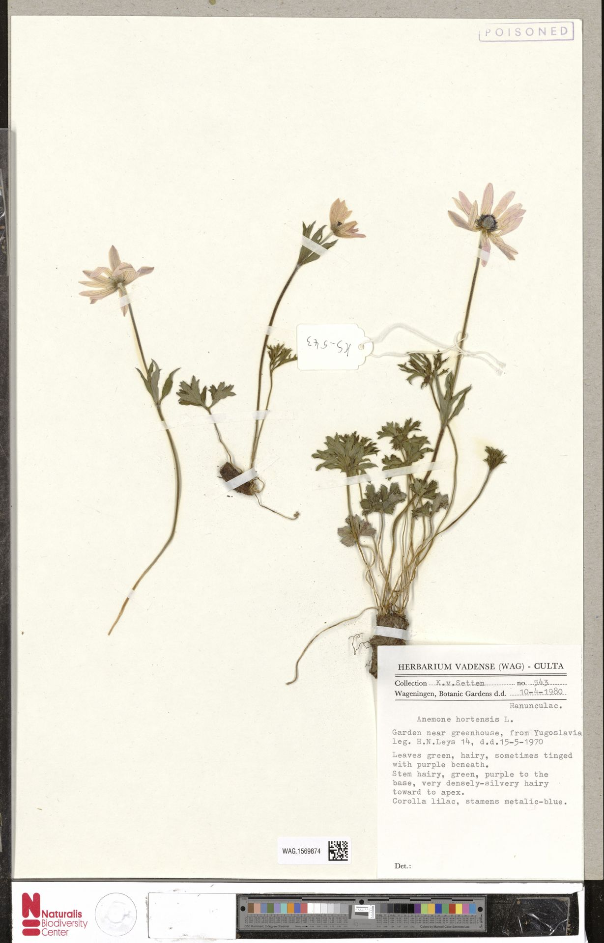 WAG.1569874 | Anemone hortensis L.