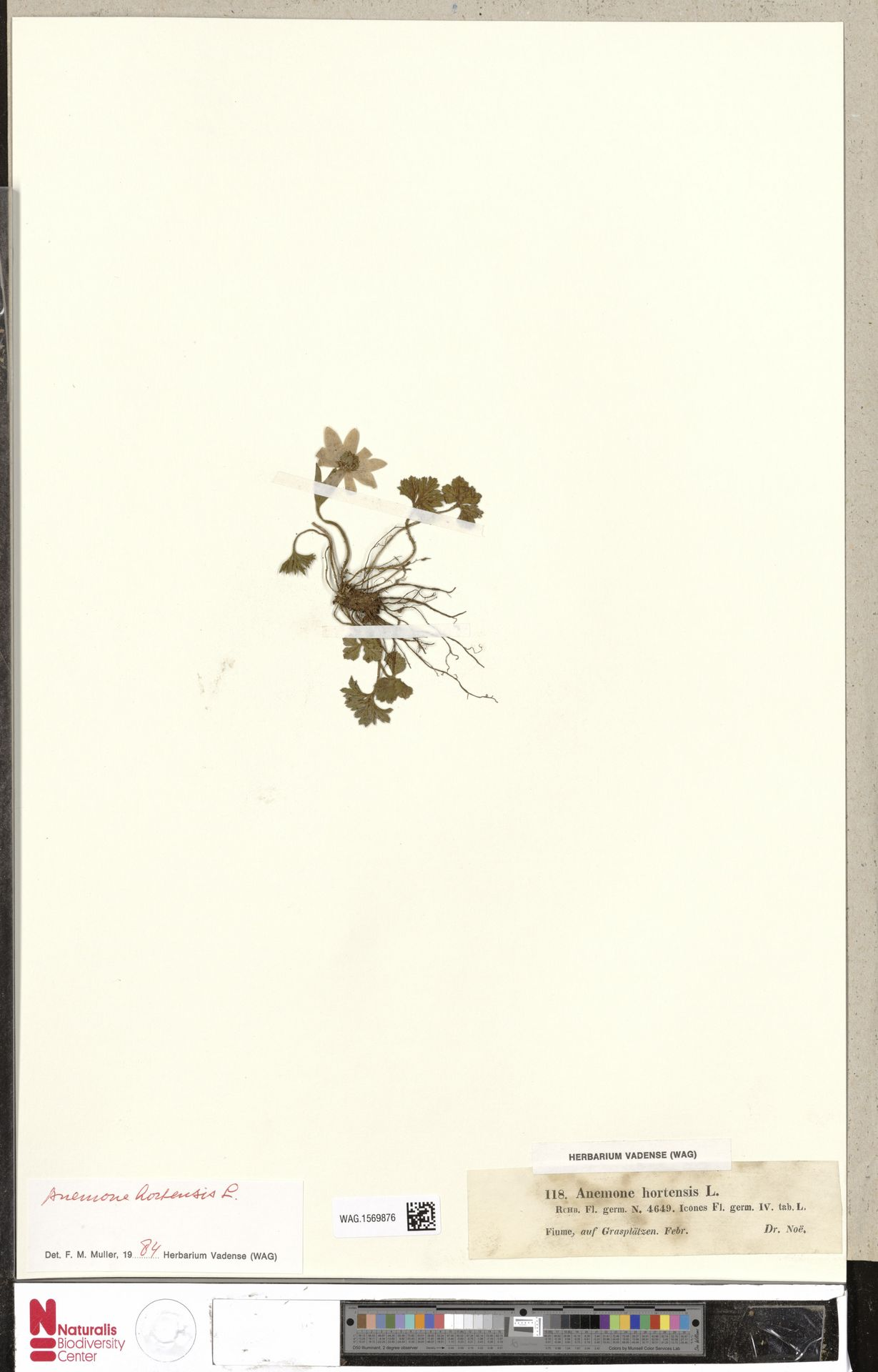 WAG.1569876 | Anemone hortensis L.