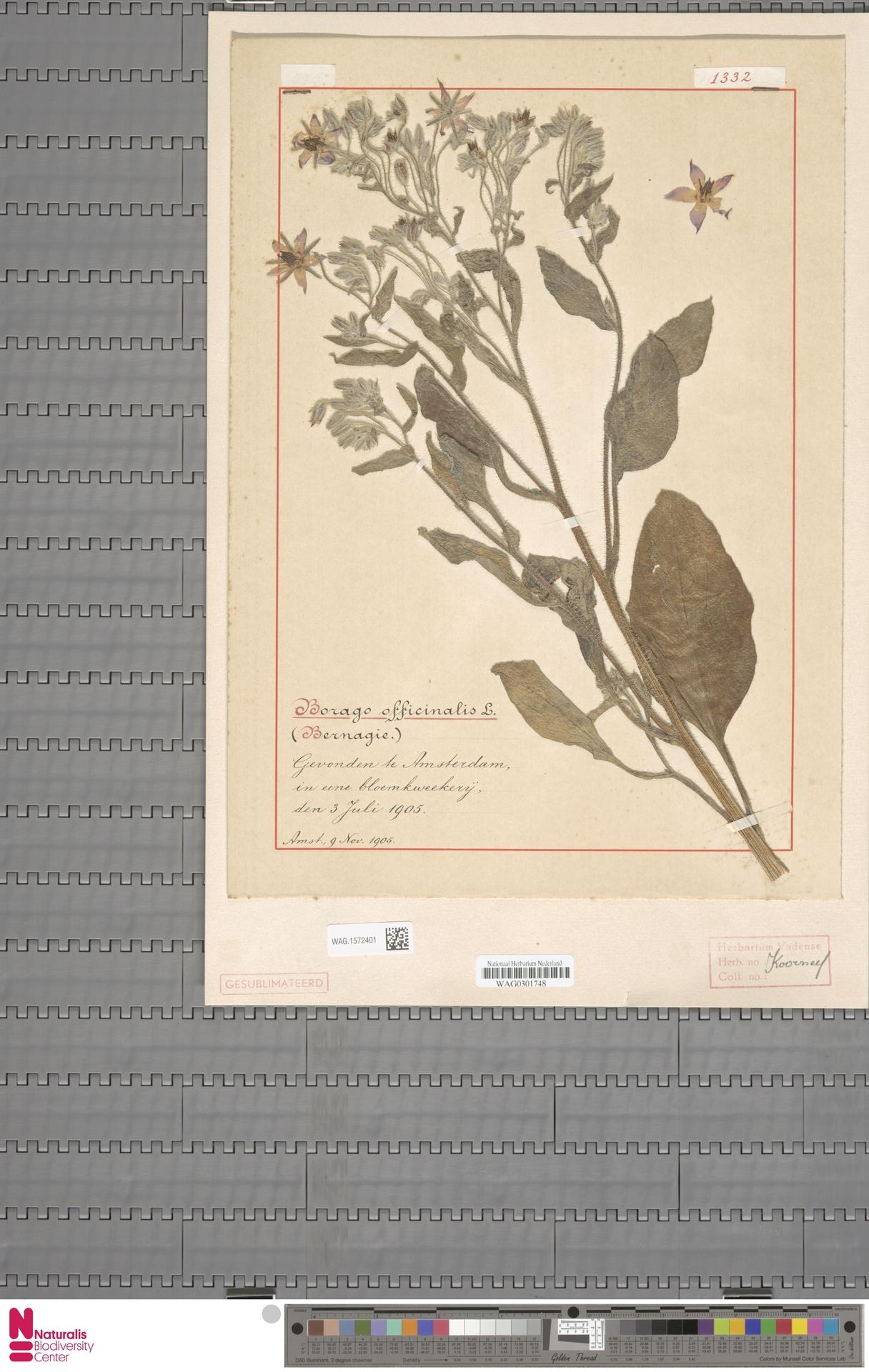 WAG.1572401 | Borago officinalis L.