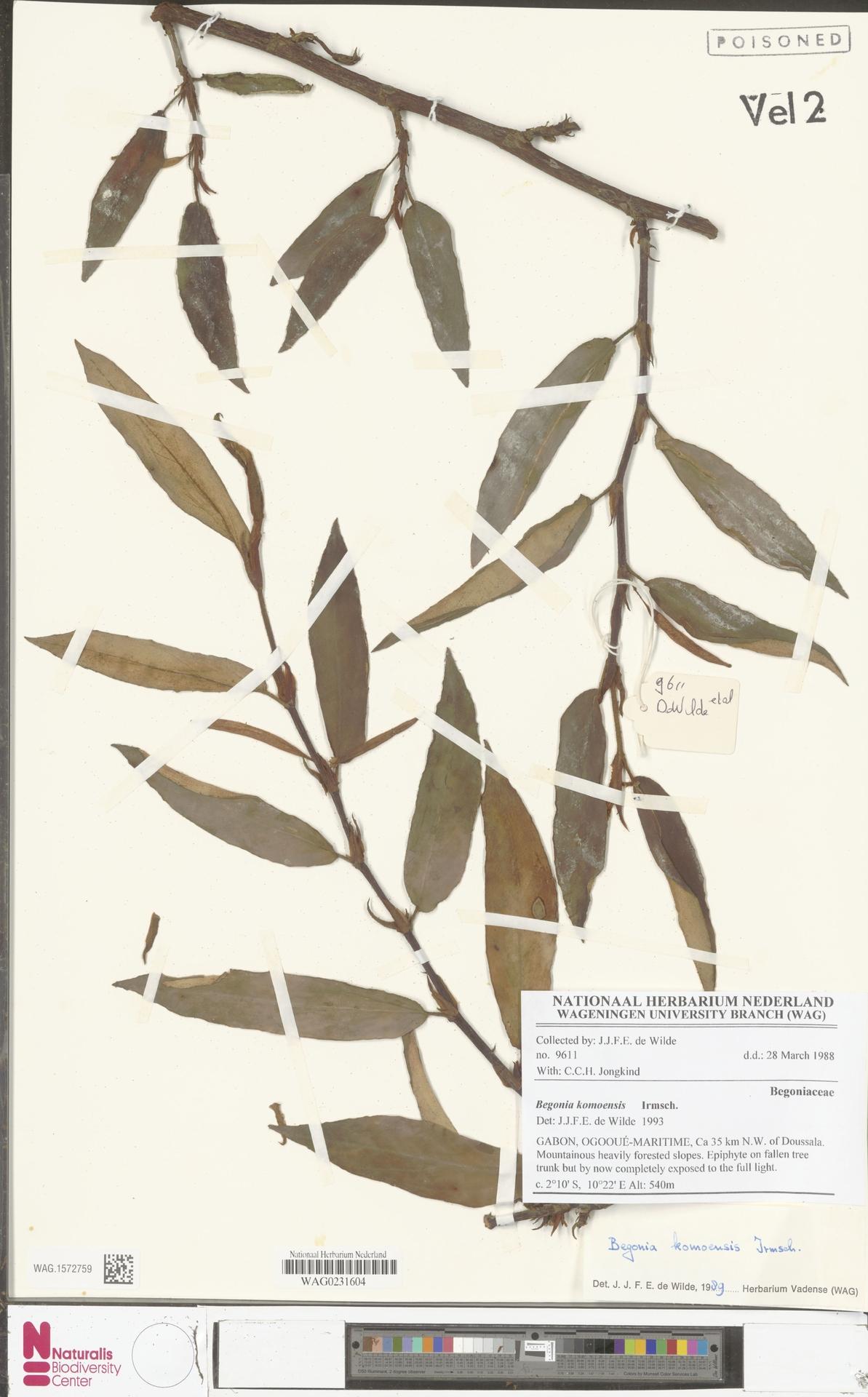 WAG.1572759 | Begonia komoensis Irmsch.
