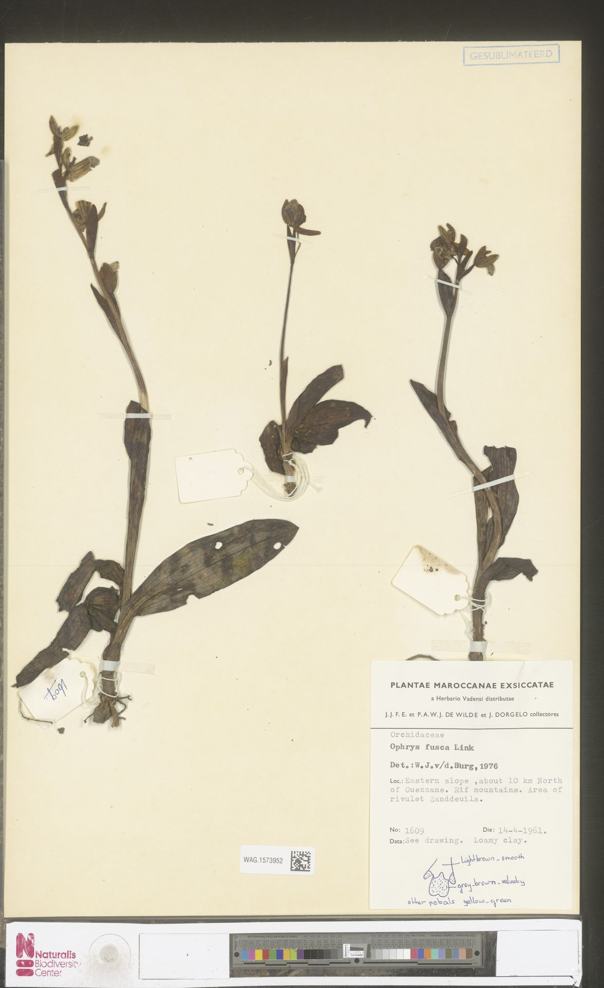 WAG.1573952 | Ophrys fusca Link