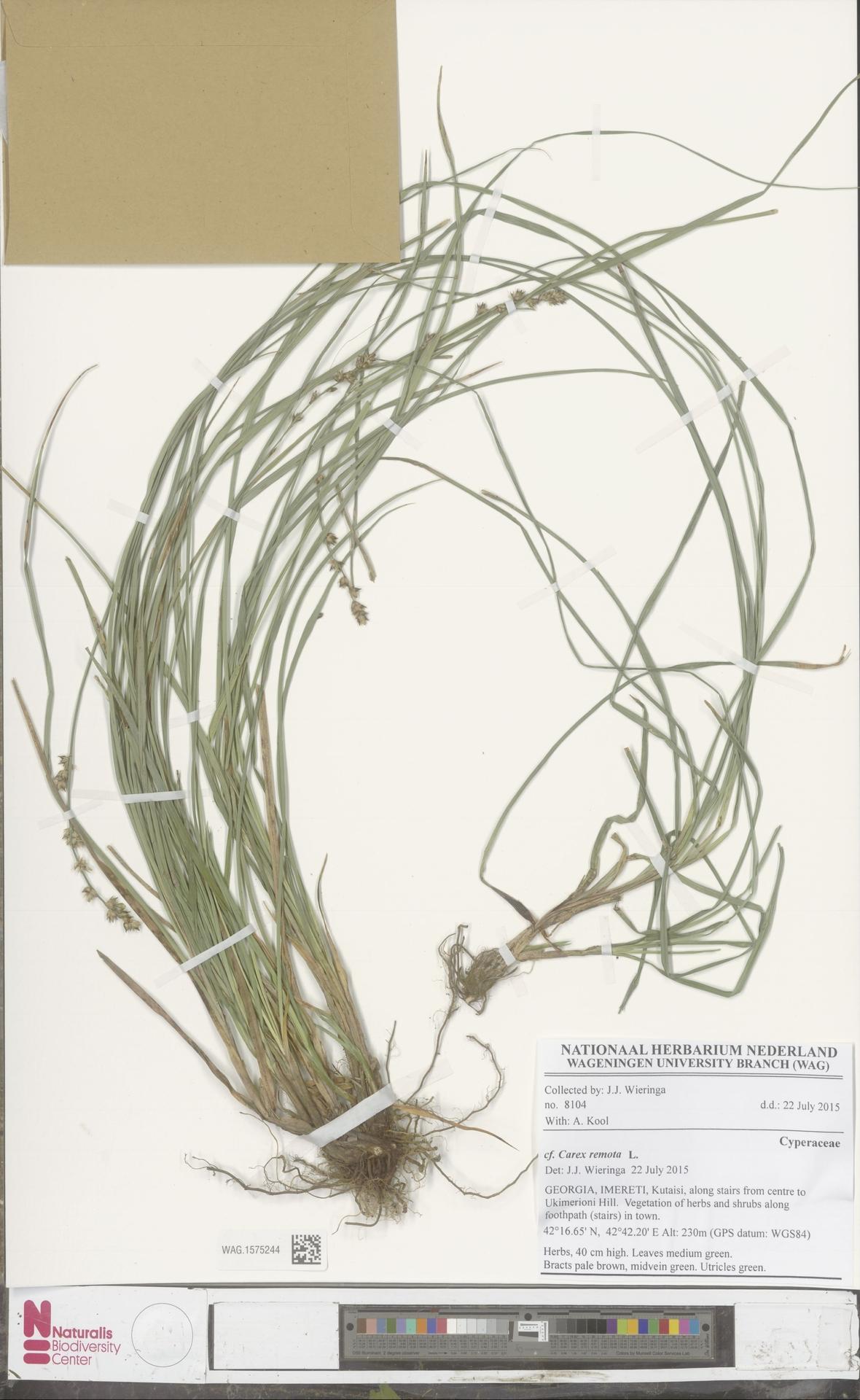 WAG.1575244 | Carex remota L.