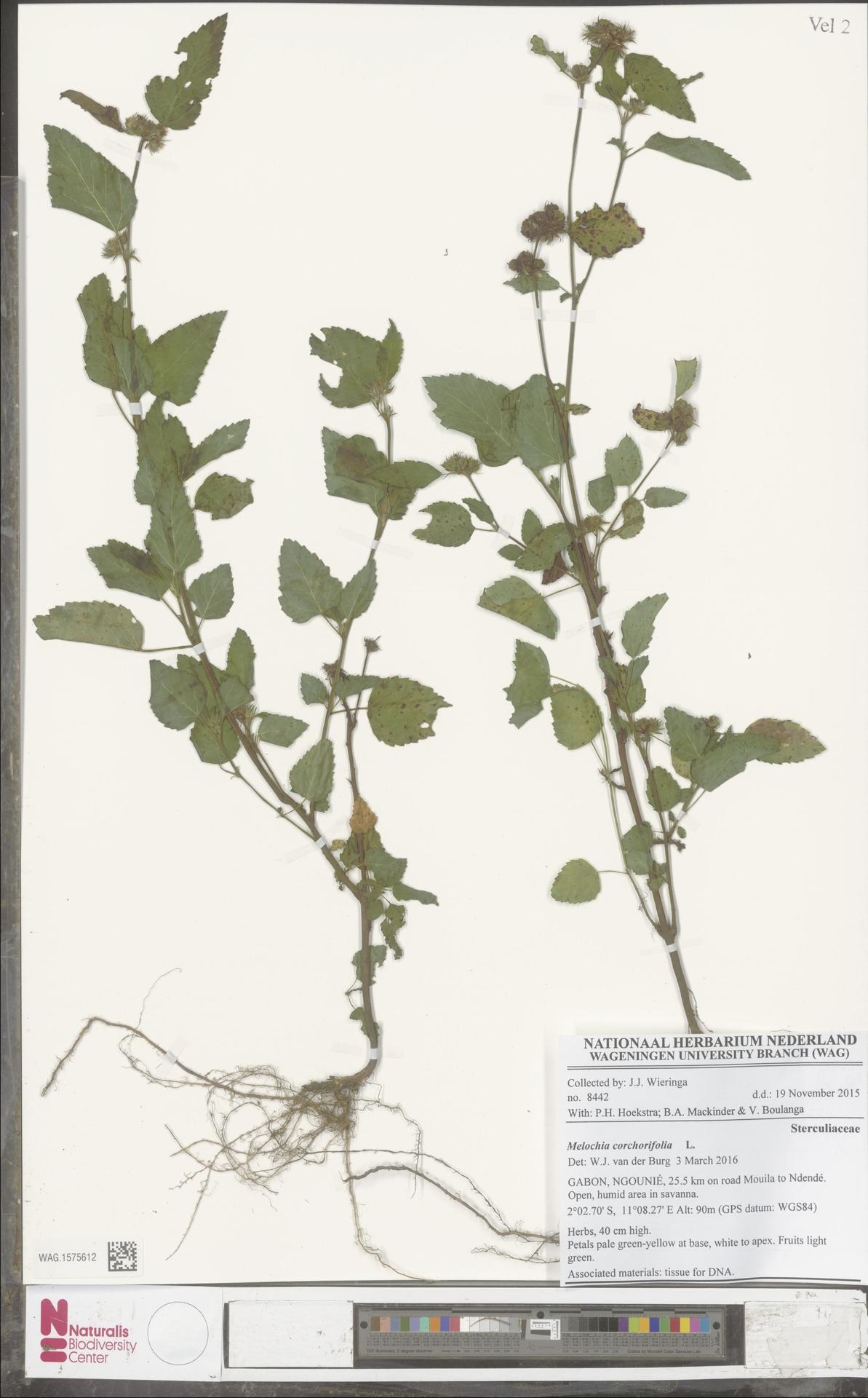 WAG.1575612   Melochia corchorifolia L.