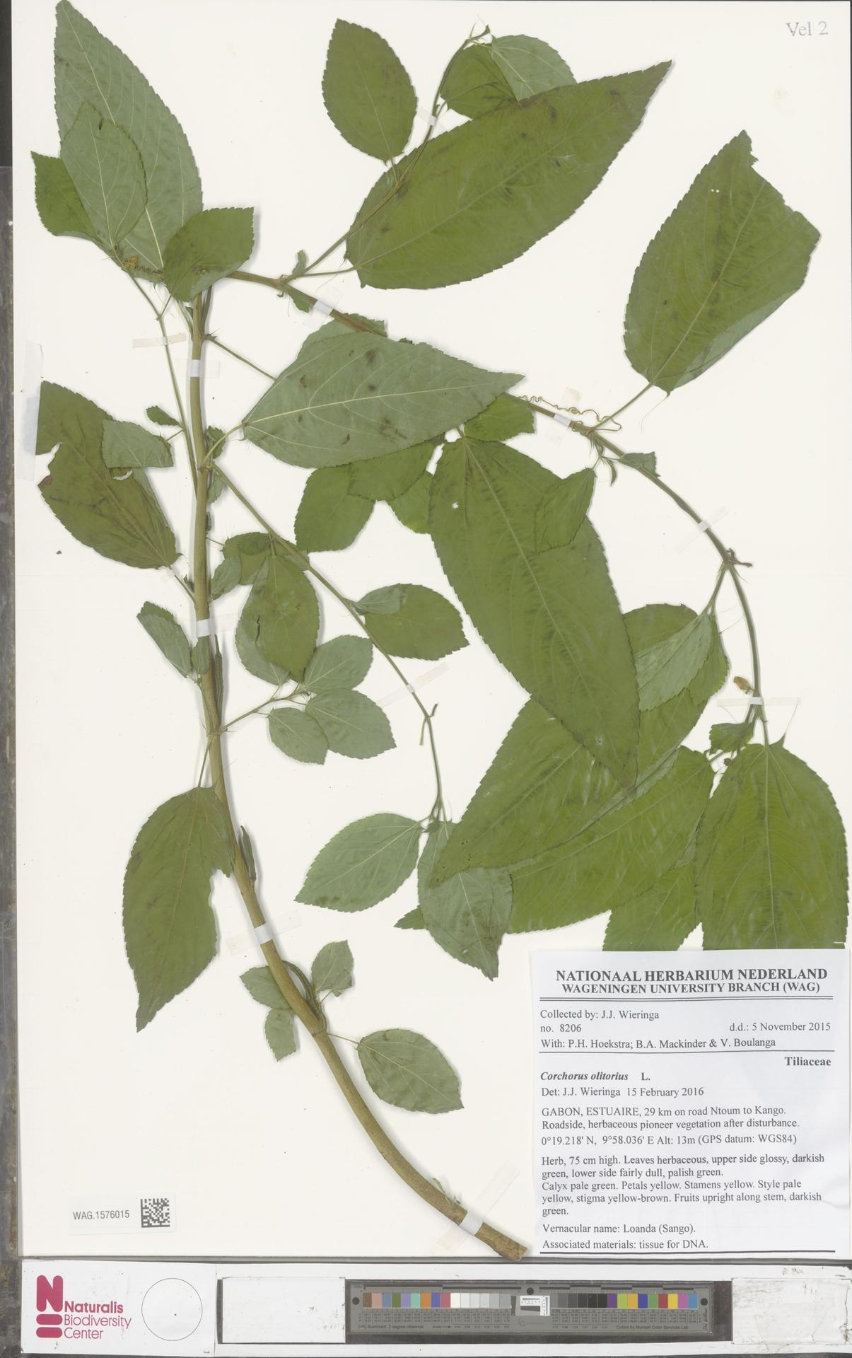 WAG.1576015 | Corchorus olitorius L.