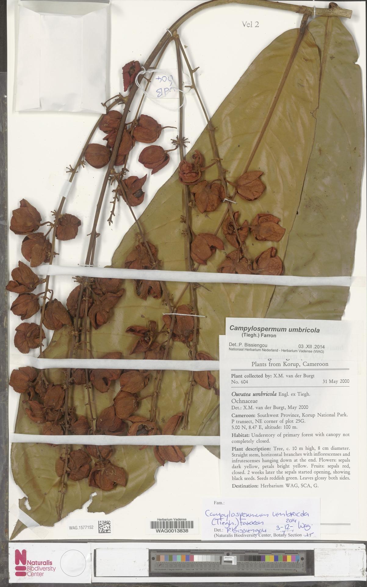 WAG.1577152 | Campylospermum umbricola (Tiegh.) Farron