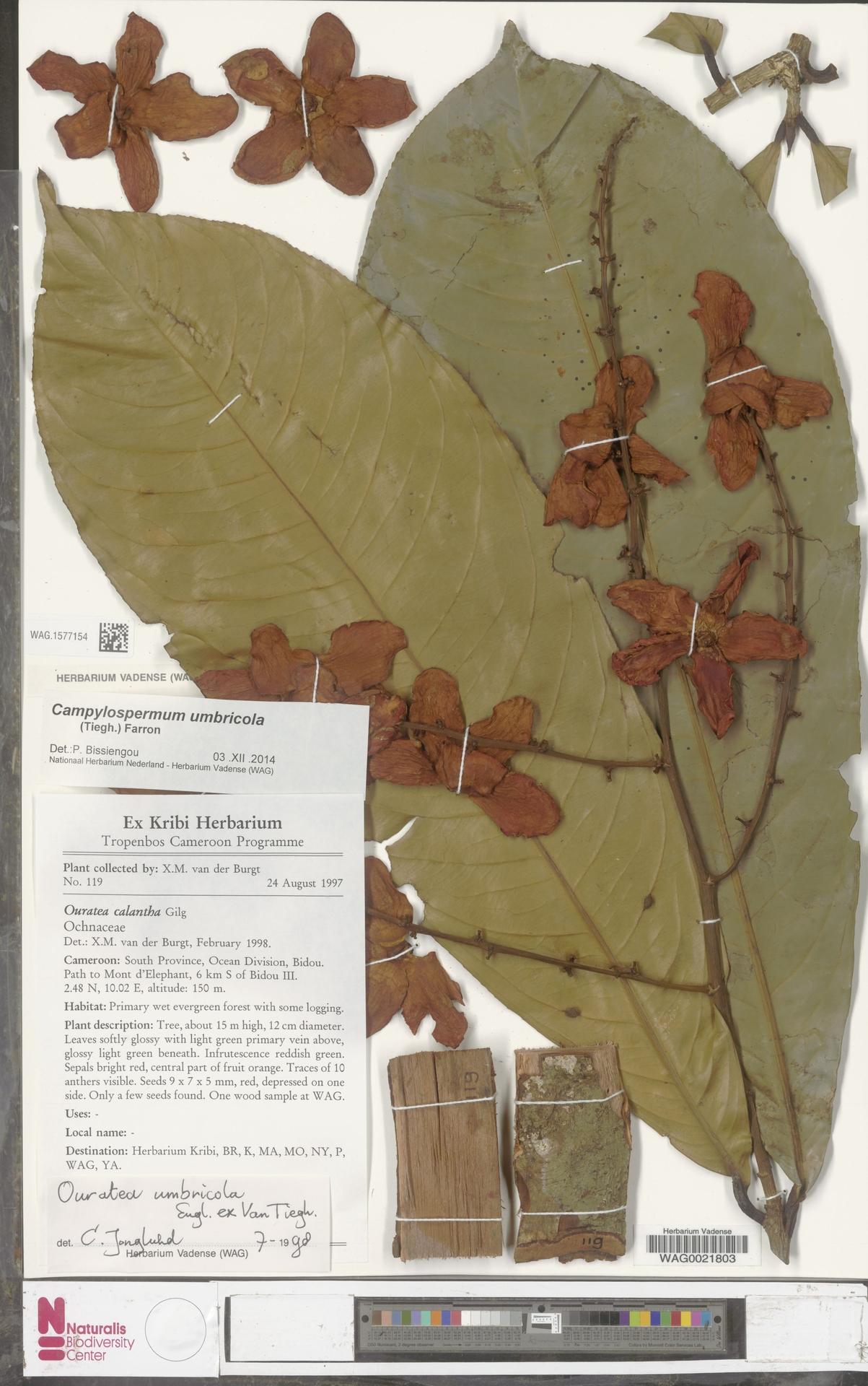 WAG.1577154 | Campylospermum umbricola (Tiegh.) Farron