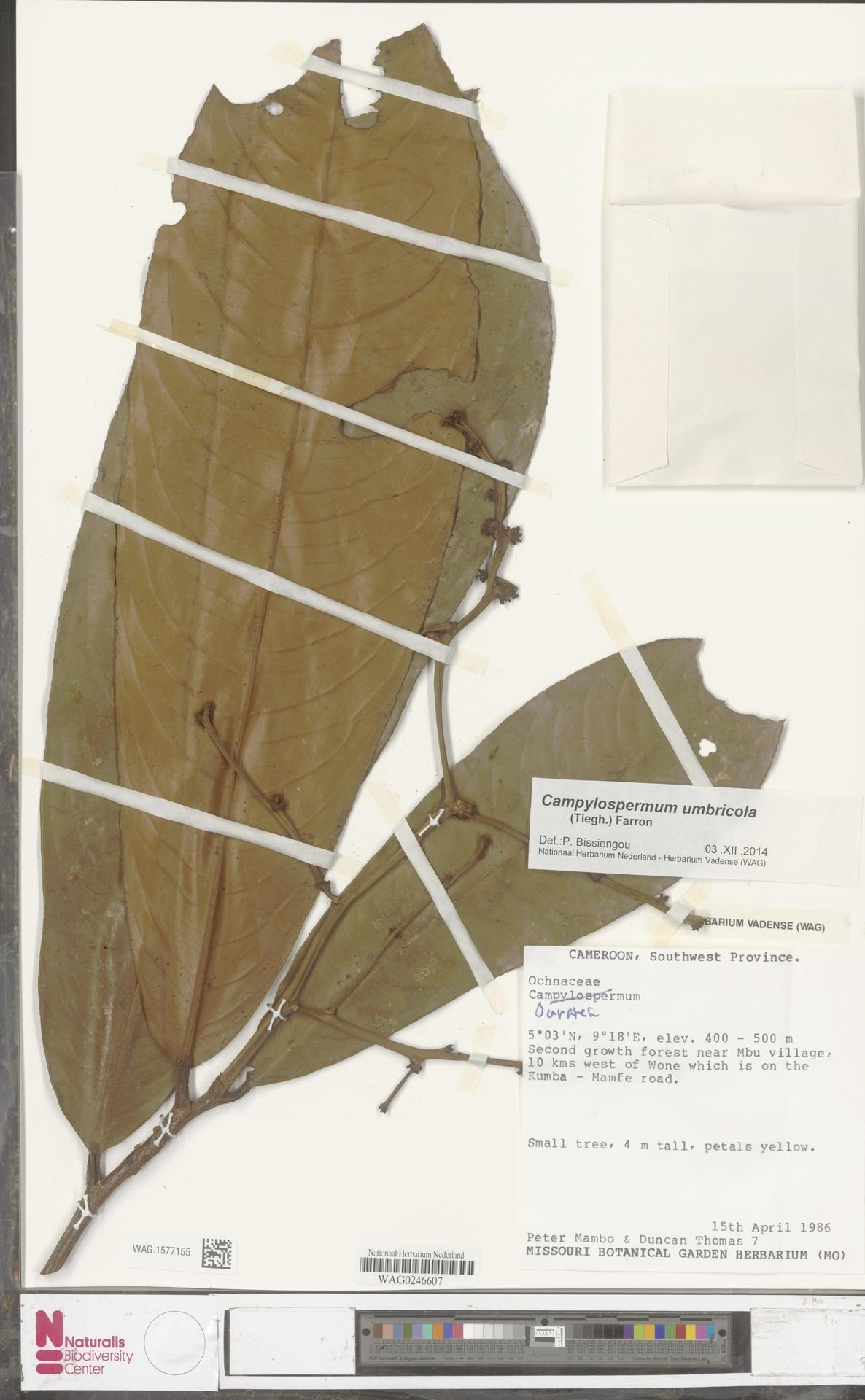 WAG.1577155 | Campylospermum umbricola (Tiegh.) Farron