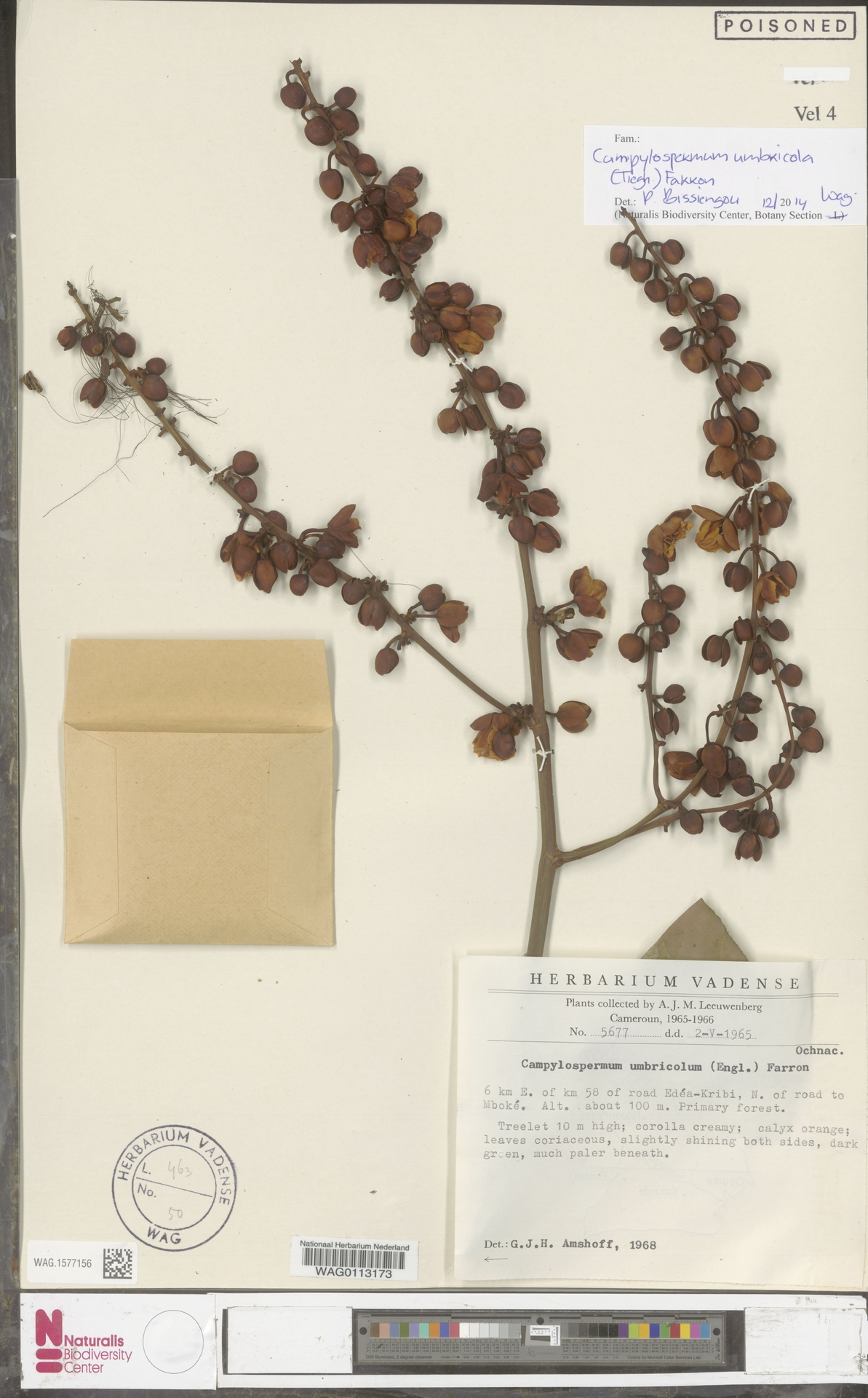 WAG.1577156 | Campylospermum umbricola (Tiegh.) Farron