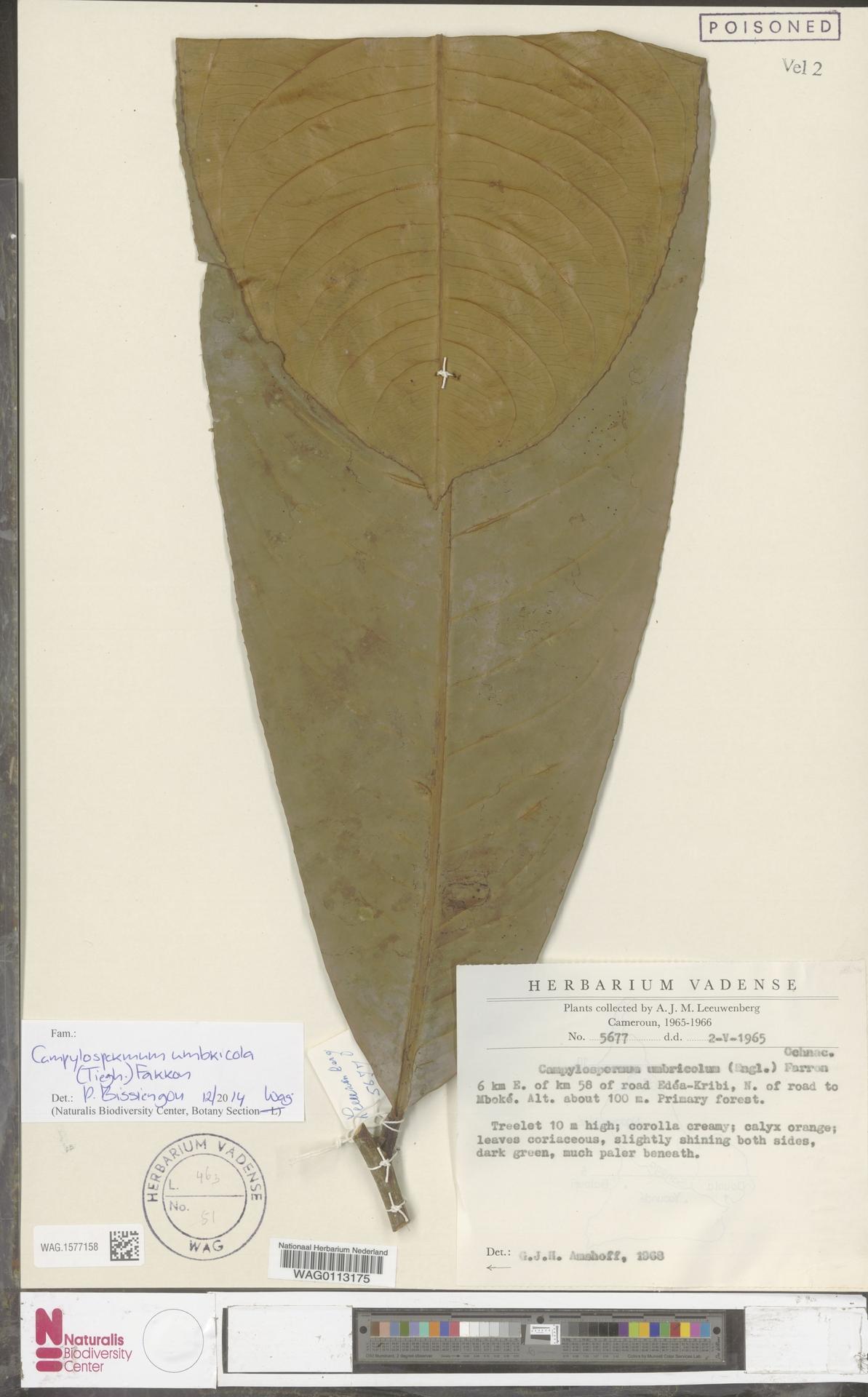 WAG.1577158 | Campylospermum umbricola (Tiegh.) Farron