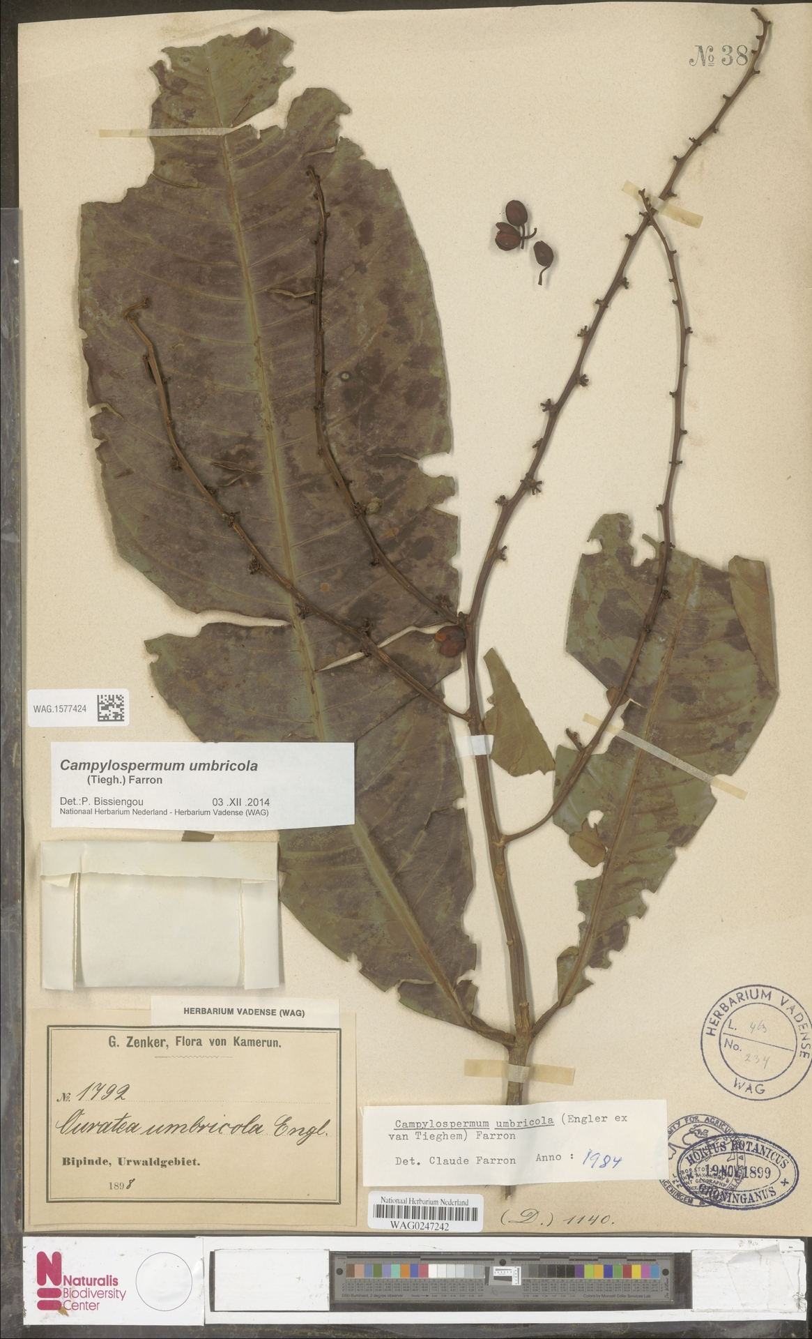 WAG.1577424 | Campylospermum umbricola (Tiegh.) Farron