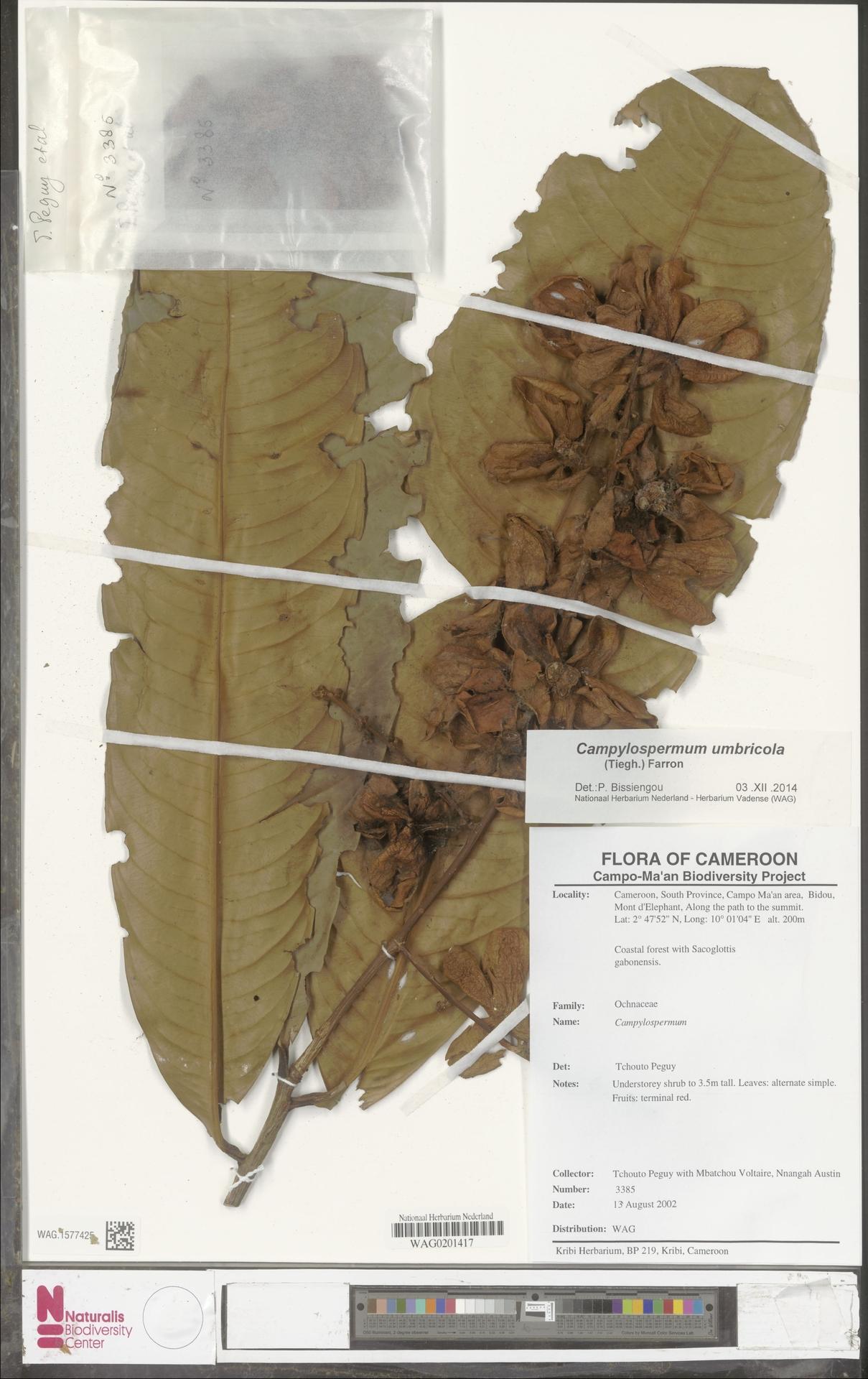 WAG.1577425 | Campylospermum umbricola (Tiegh.) Farron