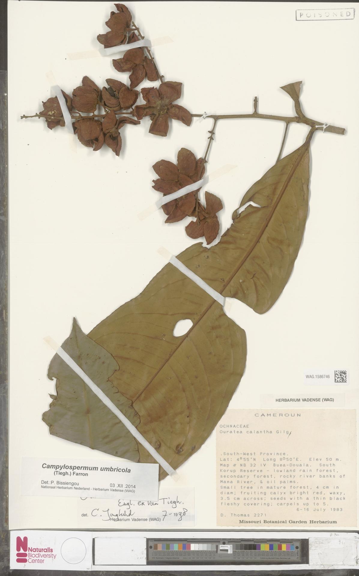 WAG.1586746 | Campylospermum umbricola (Tiegh.) Farron