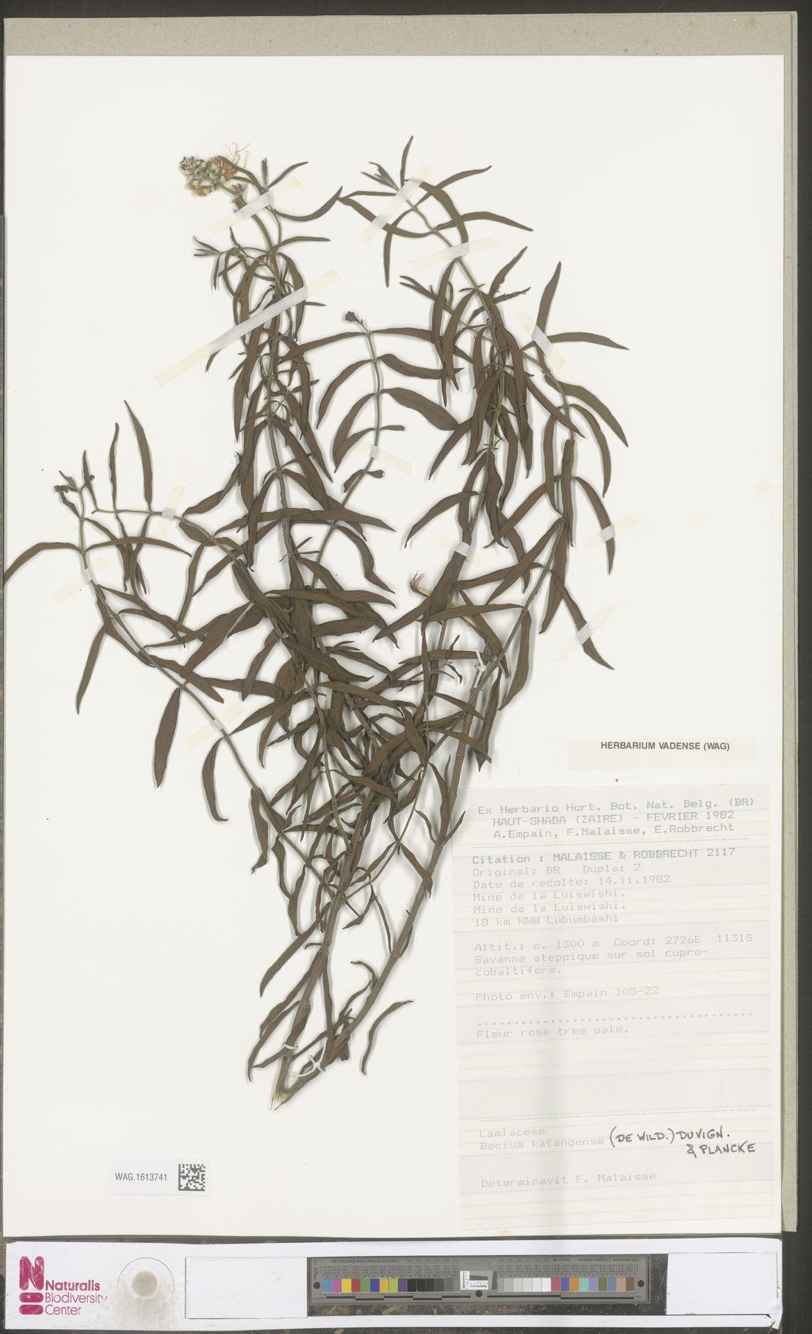 WAG.1613741 | Becium katangense (De Wild.) P.A.Duvign. & Plancke