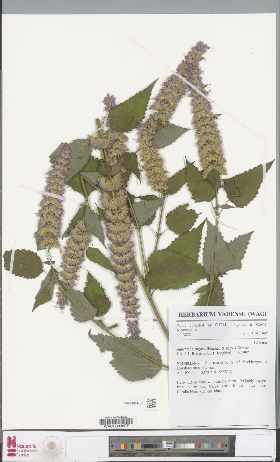 WAG.1614467 | Agastache rugosa (Fisch. & C.A.Mey.) Kuntze