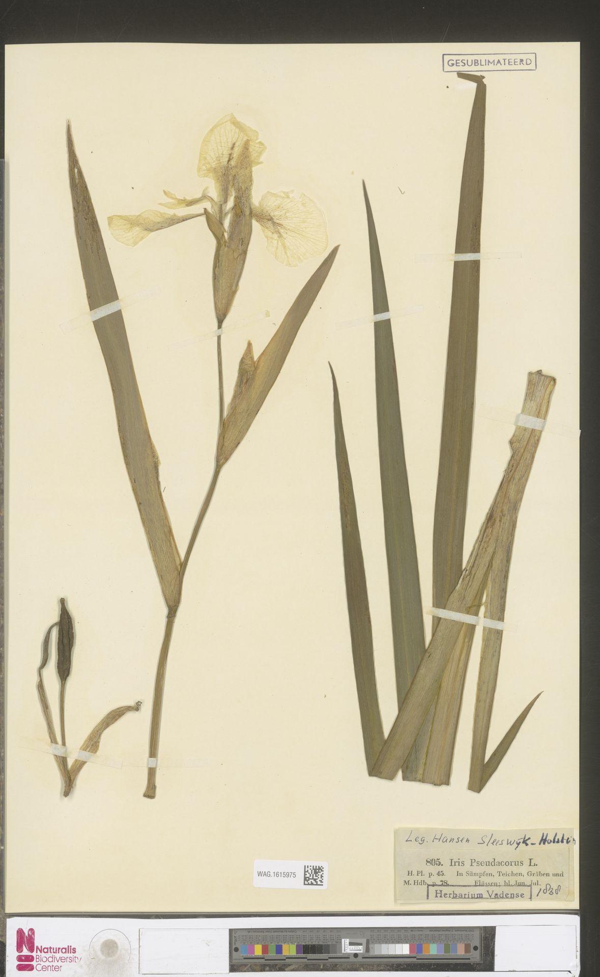 WAG.1615975   Iris pseudacorus L.