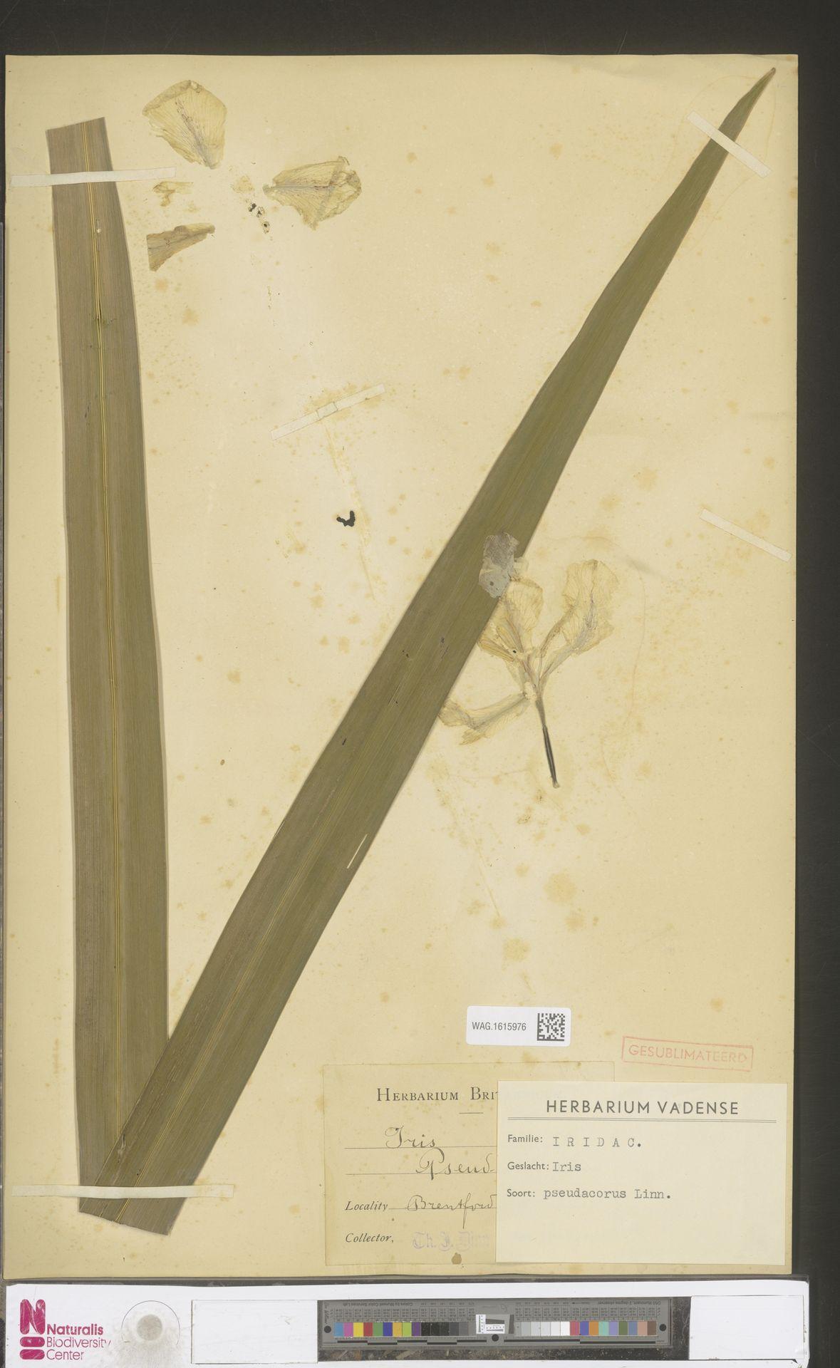 WAG.1615976 | Iris pseudacorus L.