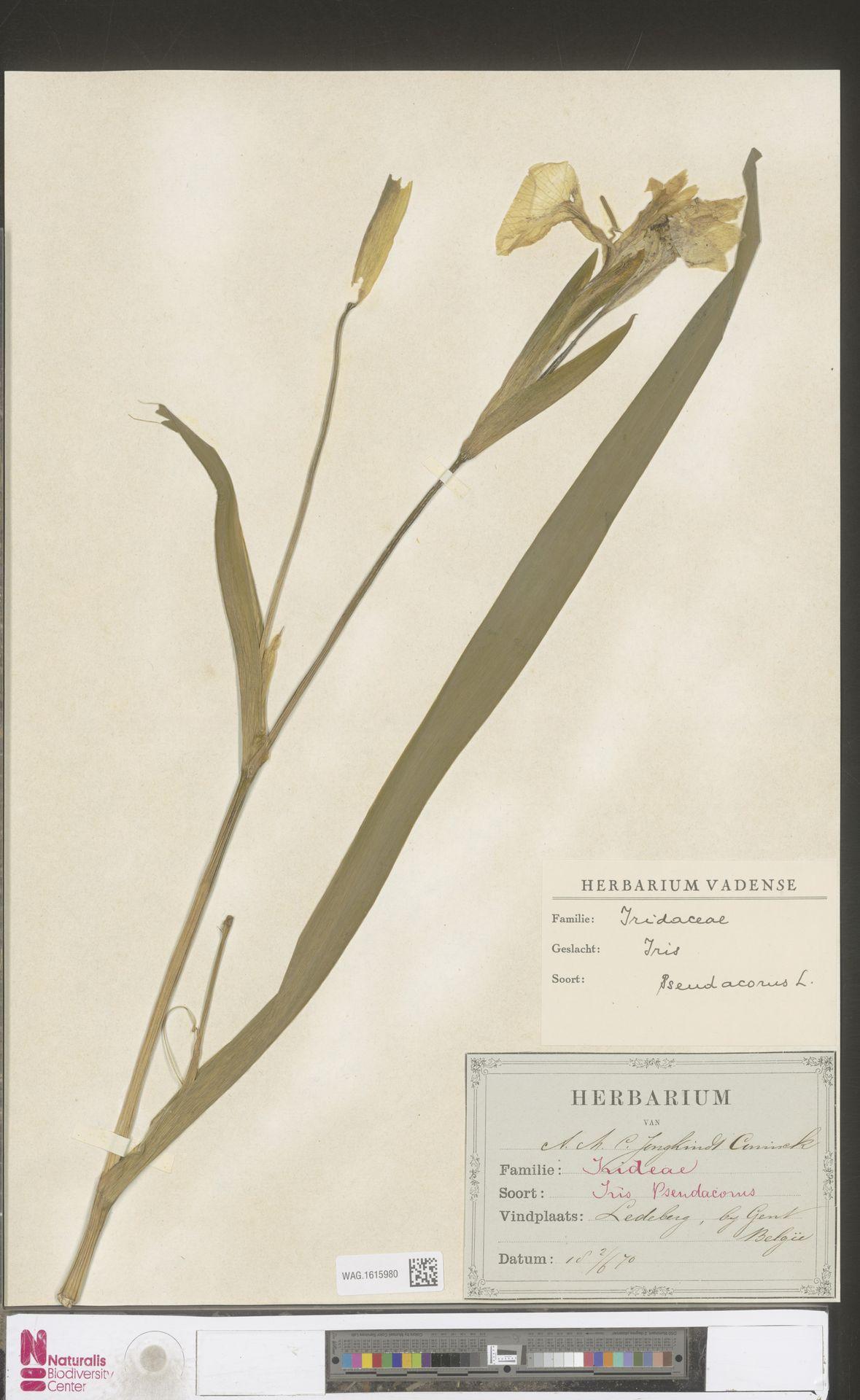 WAG.1615980 | Iris pseudacorus L.