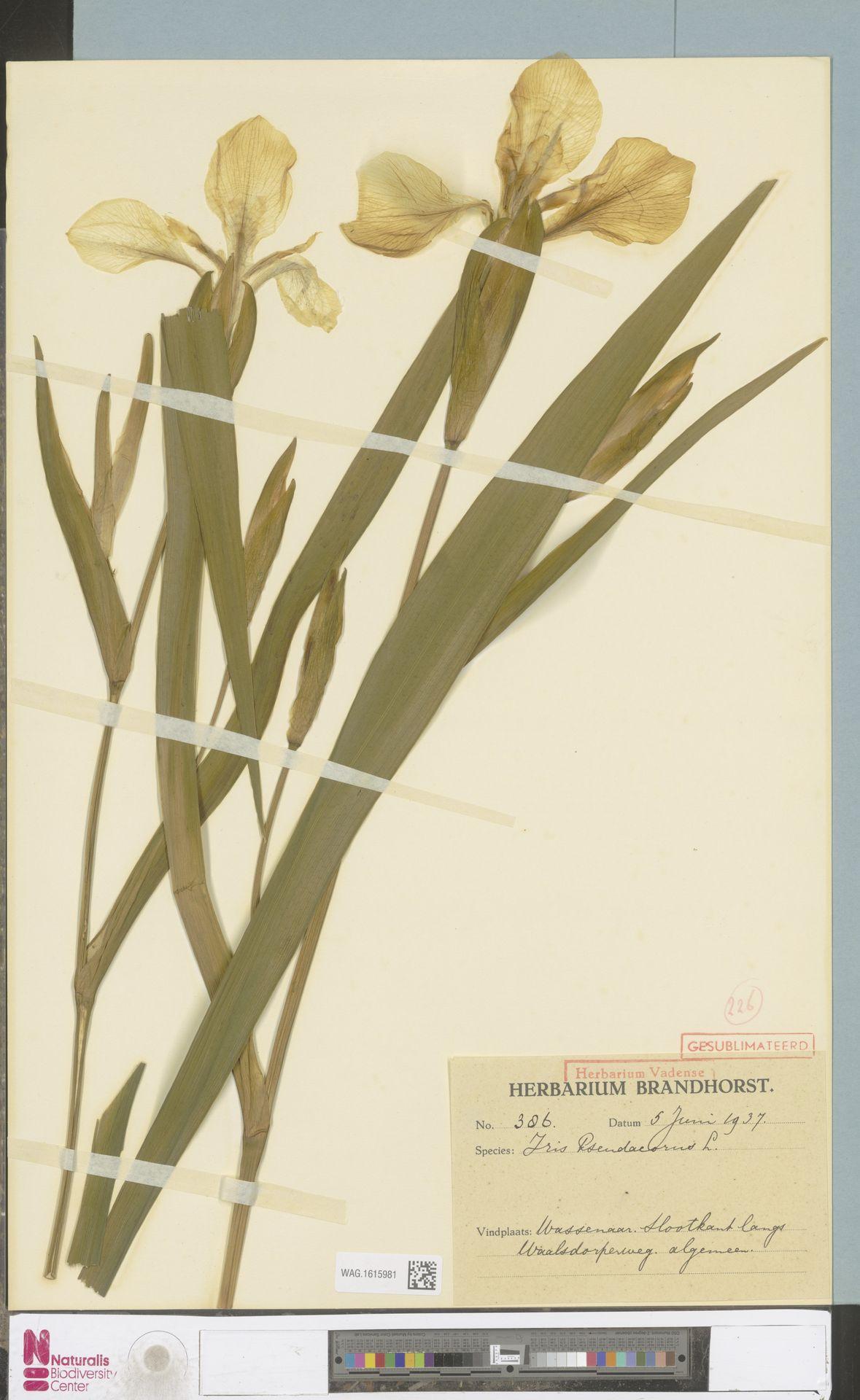 WAG.1615981 | Iris pseudacorus L.