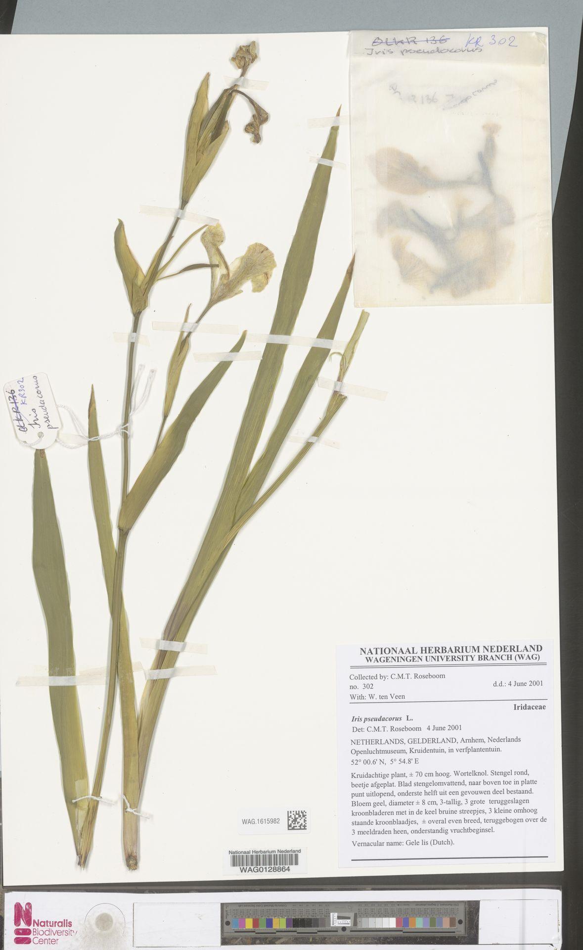 WAG.1615982 | Iris pseudacorus L.