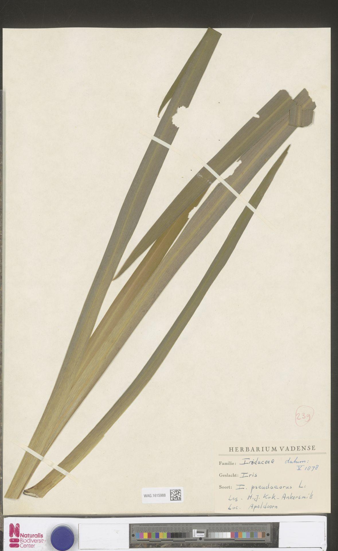 WAG.1615988 | Iris pseudacorus L.