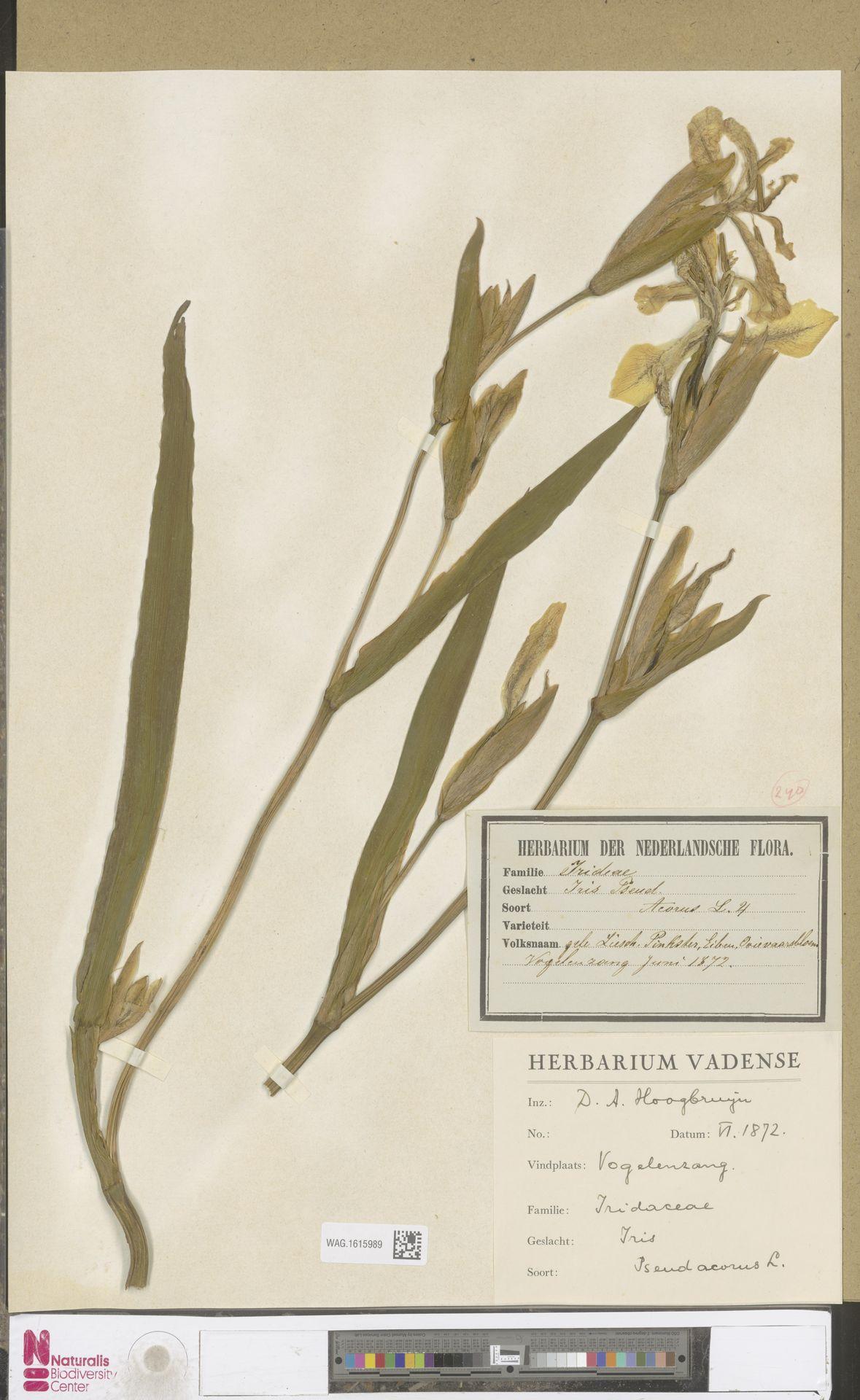 WAG.1615989 | Iris pseudacorus L.
