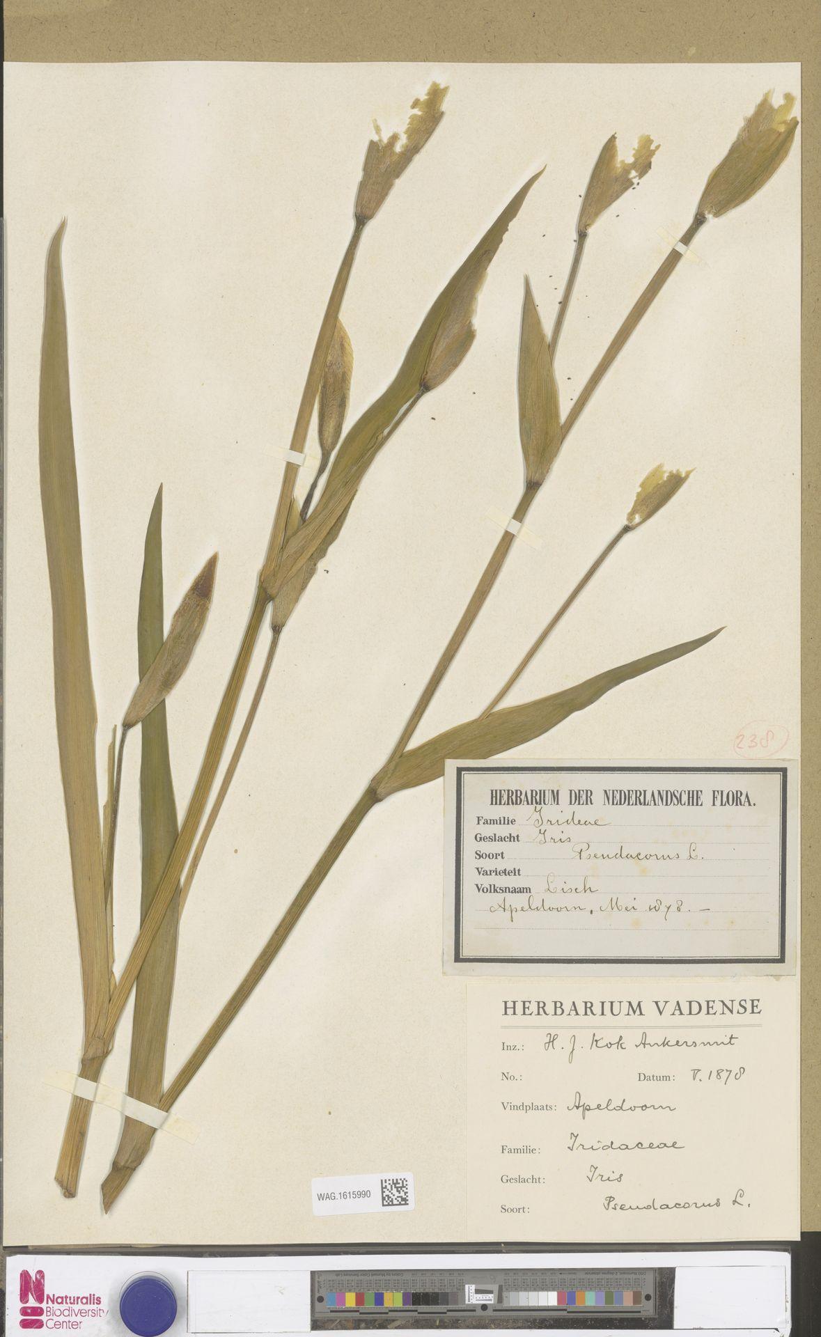 WAG.1615990 | Iris pseudacorus L.