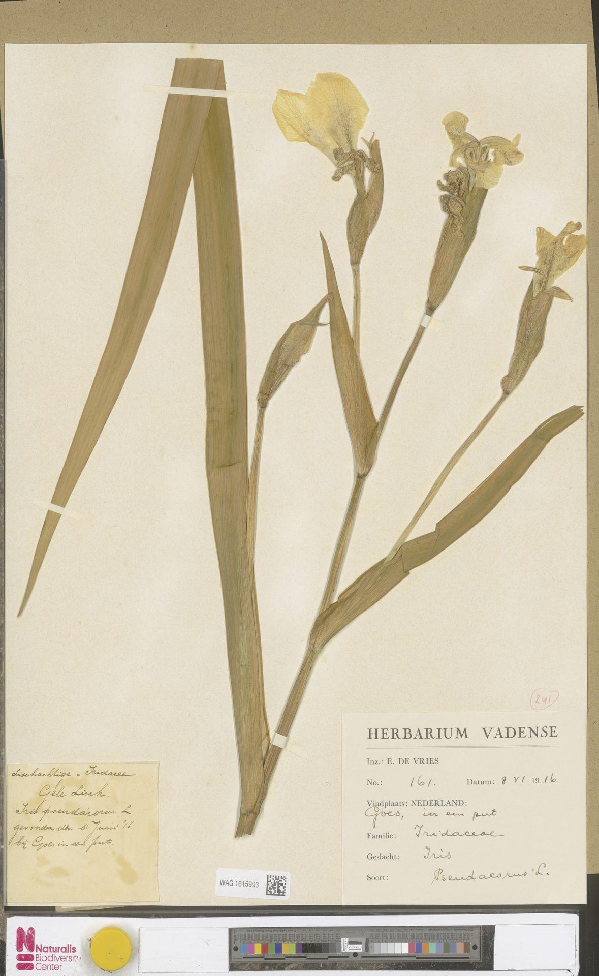 WAG.1615993 | Iris pseudacorus L.