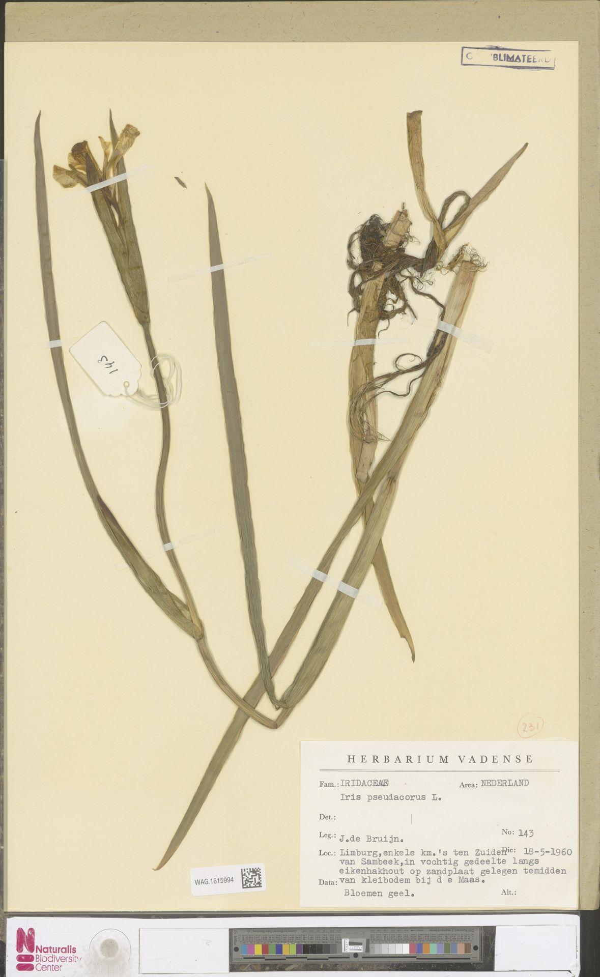 WAG.1615994 | Iris pseudacorus L.
