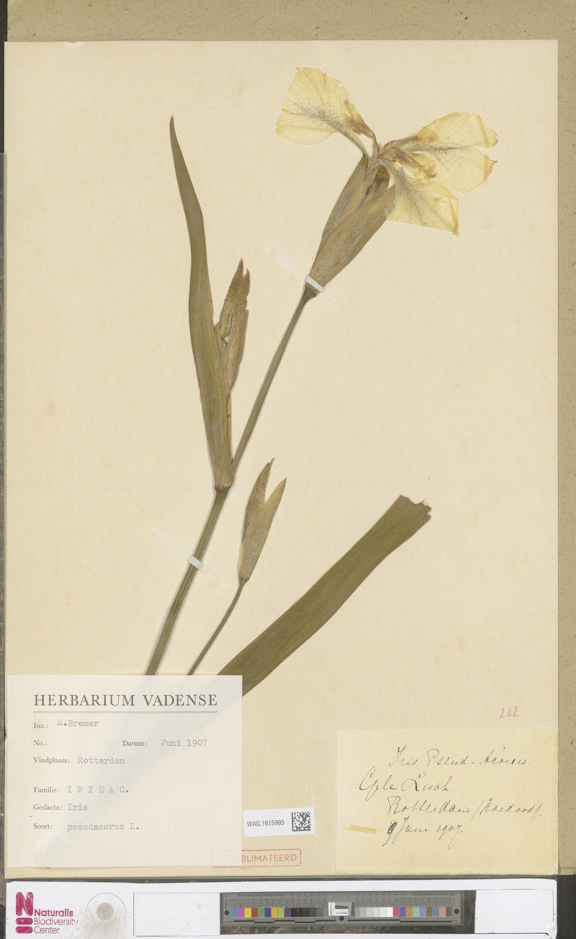 WAG.1615995 | Iris pseudacorus L.
