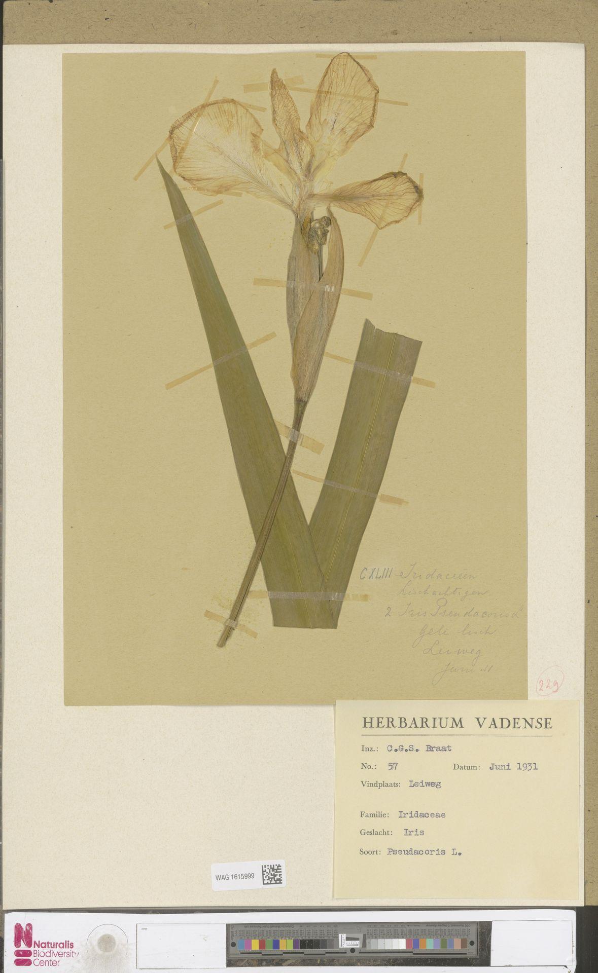 WAG.1615999   Iris pseudacorus L.