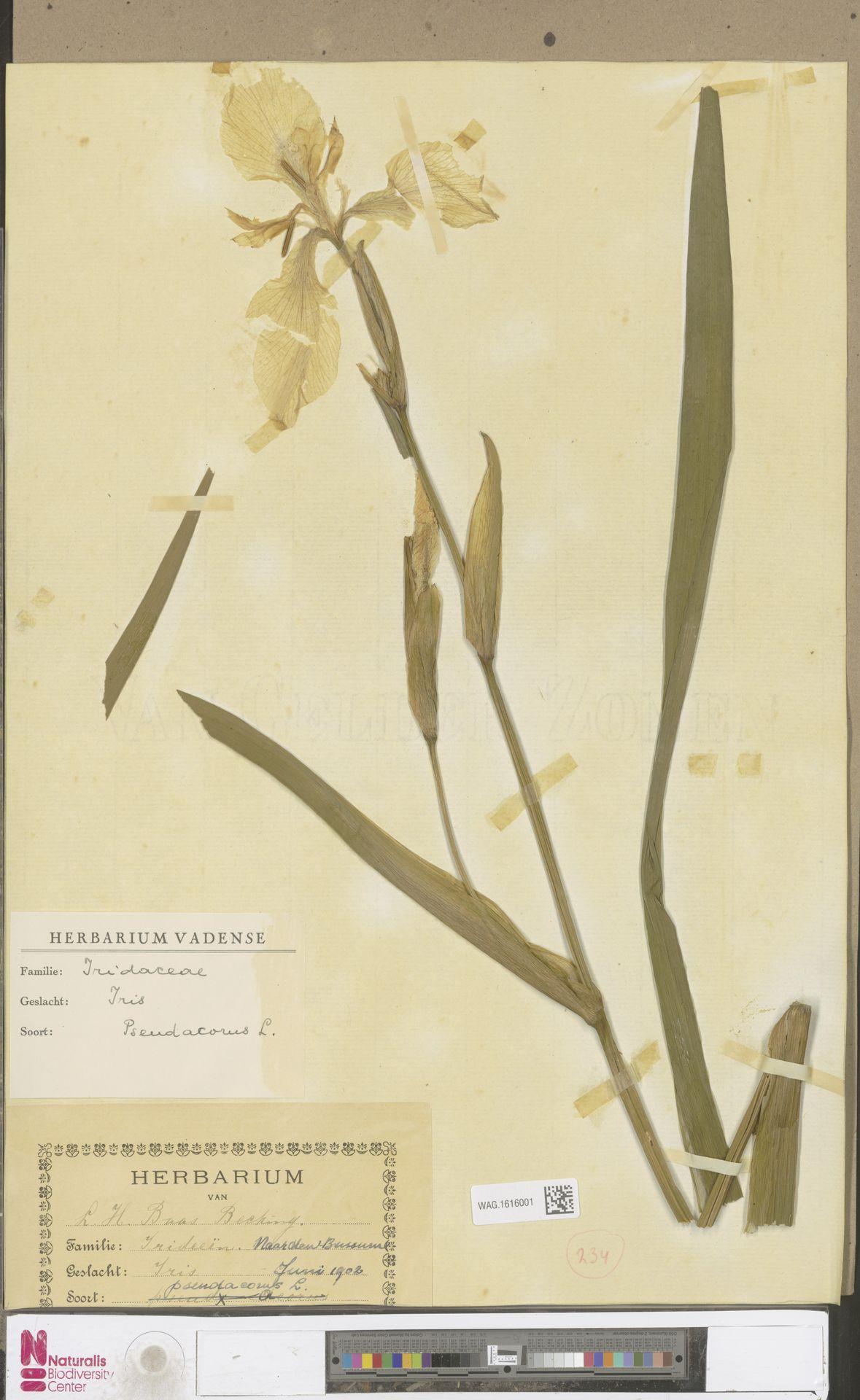 WAG.1616001 | Iris pseudacorus L.