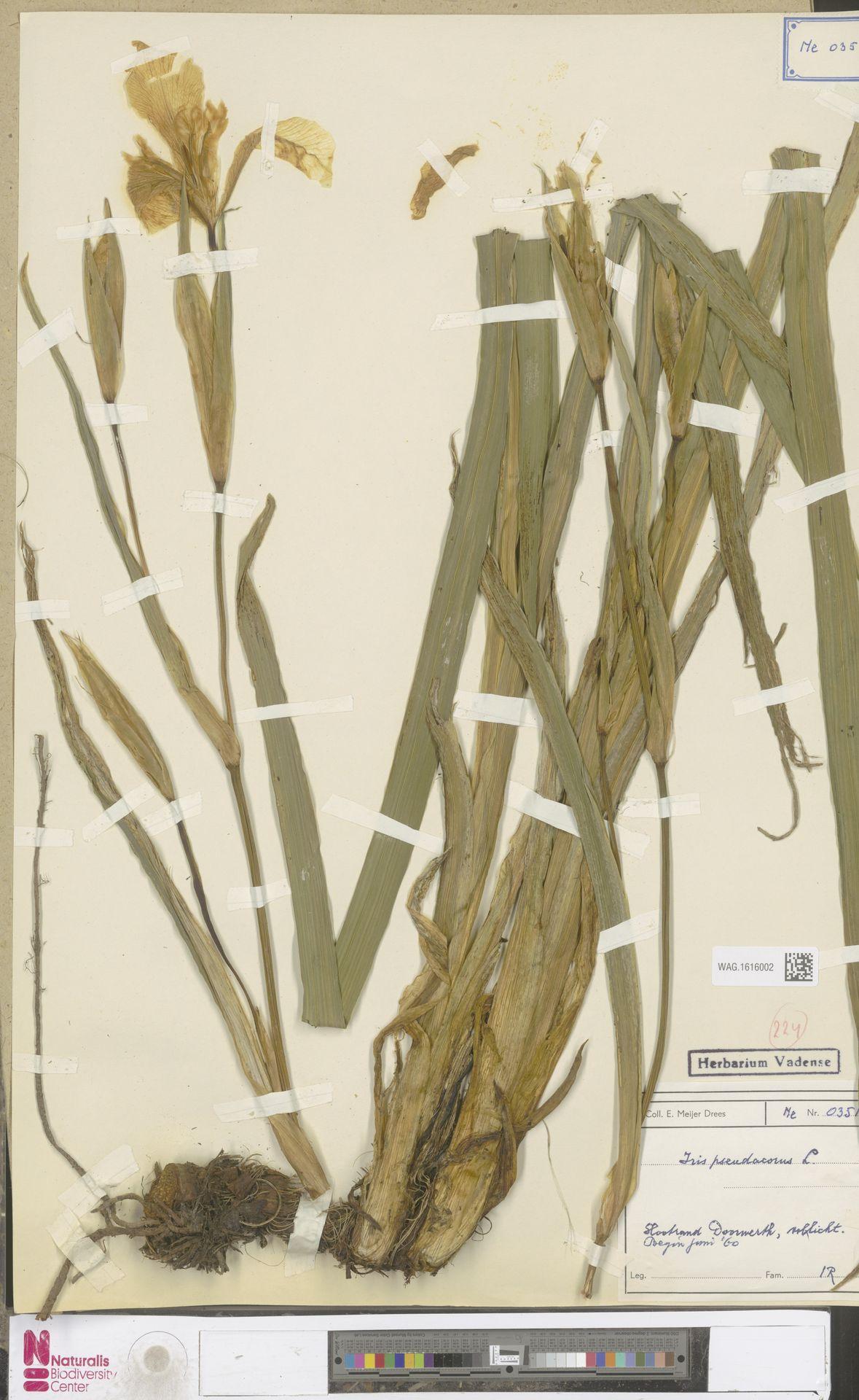 WAG.1616002 | Iris pseudacorus L.
