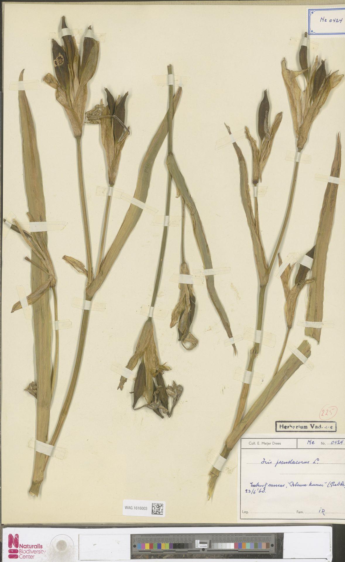 WAG.1616003 | Iris pseudacorus L.