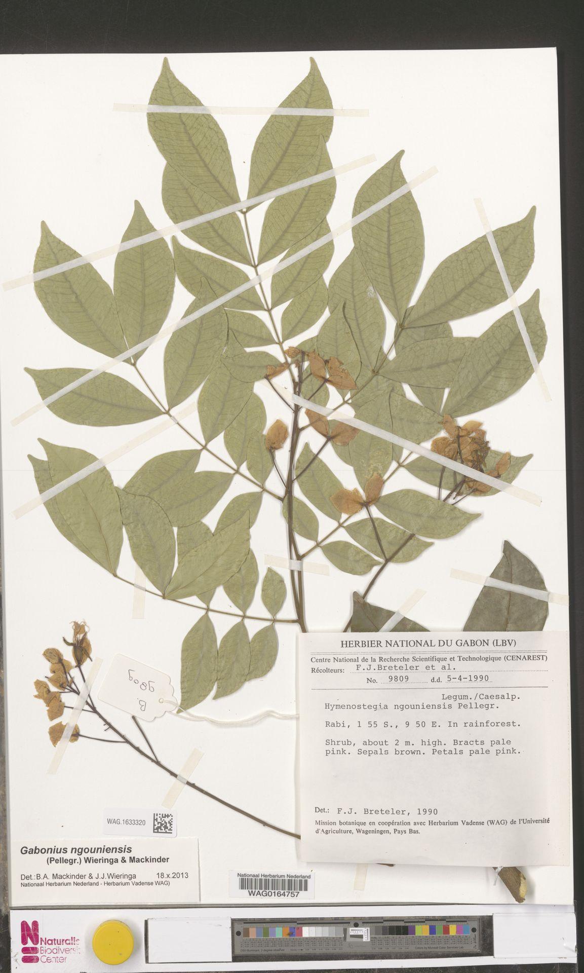 WAG.1633320 | Gabonius ngouniensis (Pellegr.) Wieringa & Mackinder
